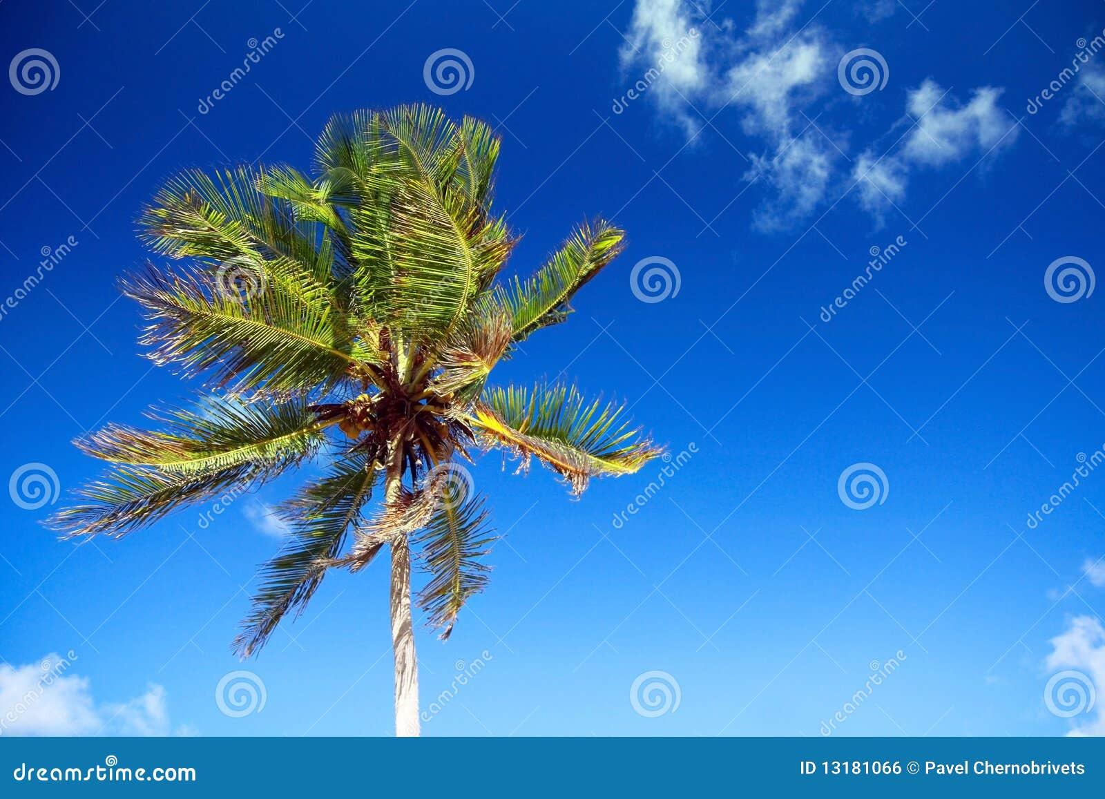 καραϊβικός ουρανός φοινι