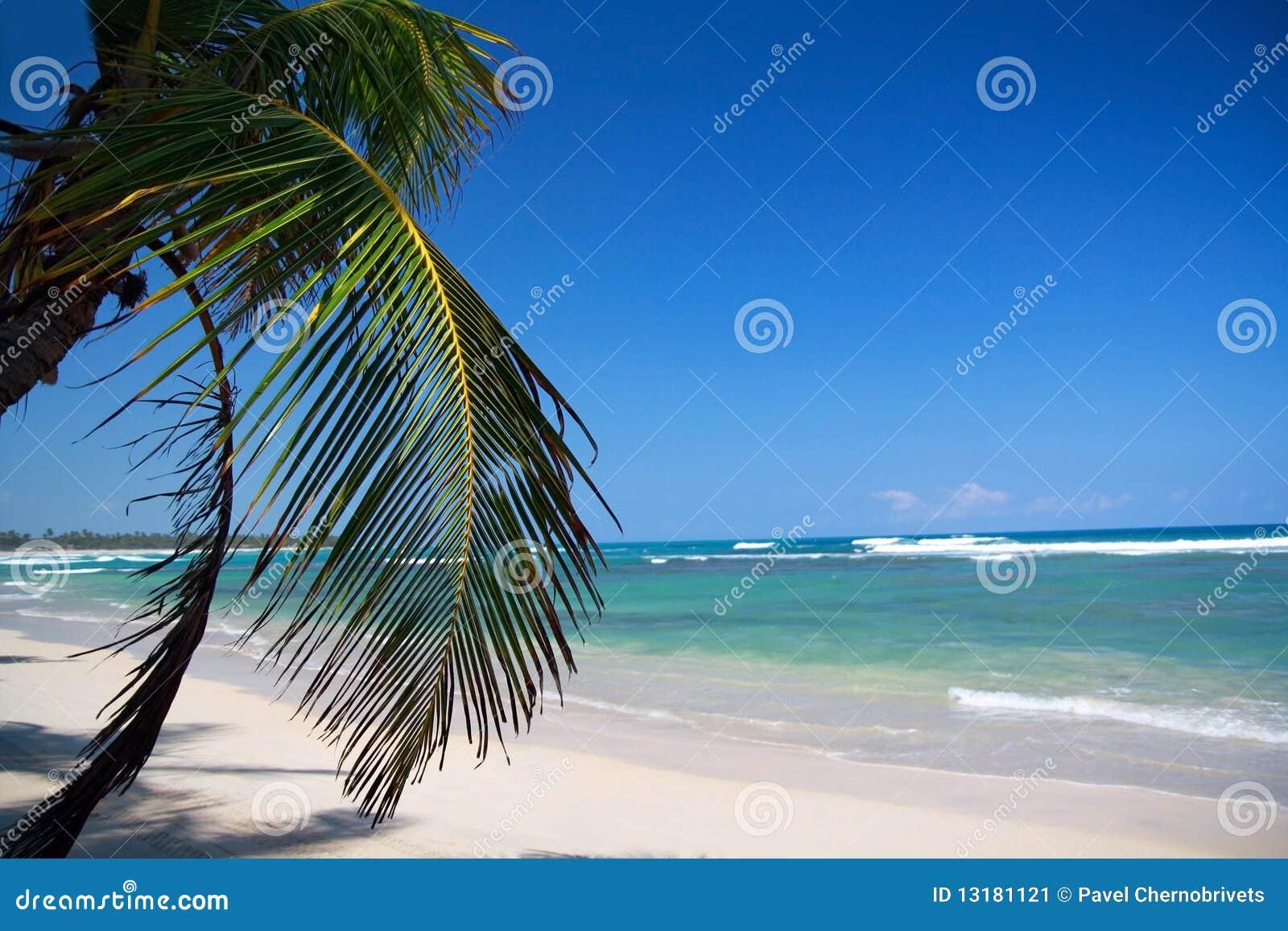 καραϊβικός φοίνικας παρα&la
