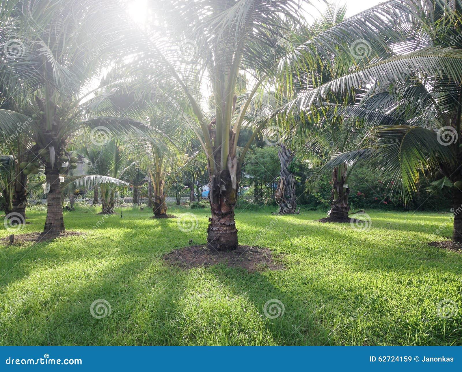 καραϊβικός φοίνικας της Κούβας καρύδων