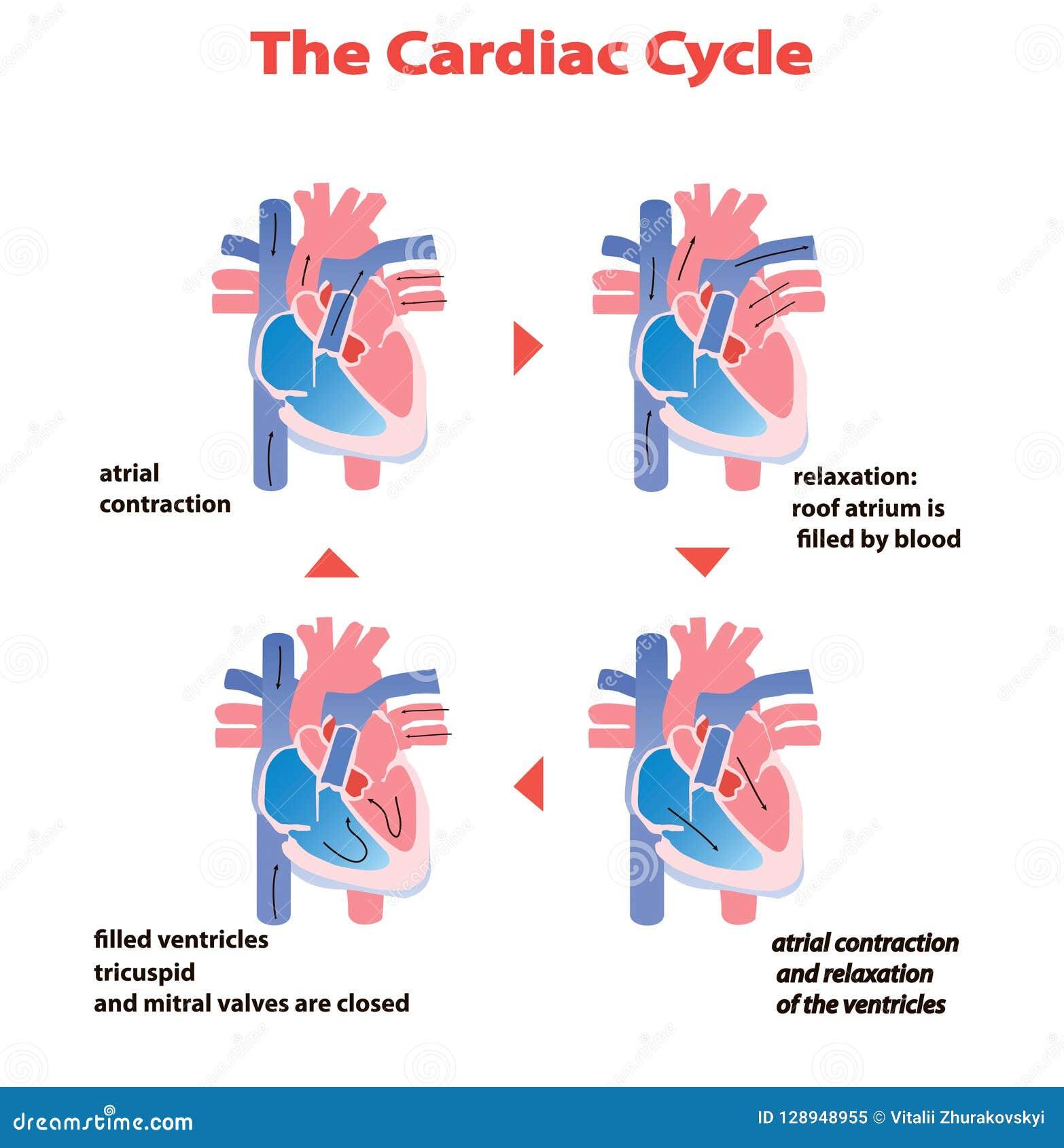 Καρδιακός κύκλος καρδιών της καρδιάς στο άσπρο υπόβαθρο που απομονώνεται πληροφορίες εκπαίδευσης κύκλων καρδιών γραφικές