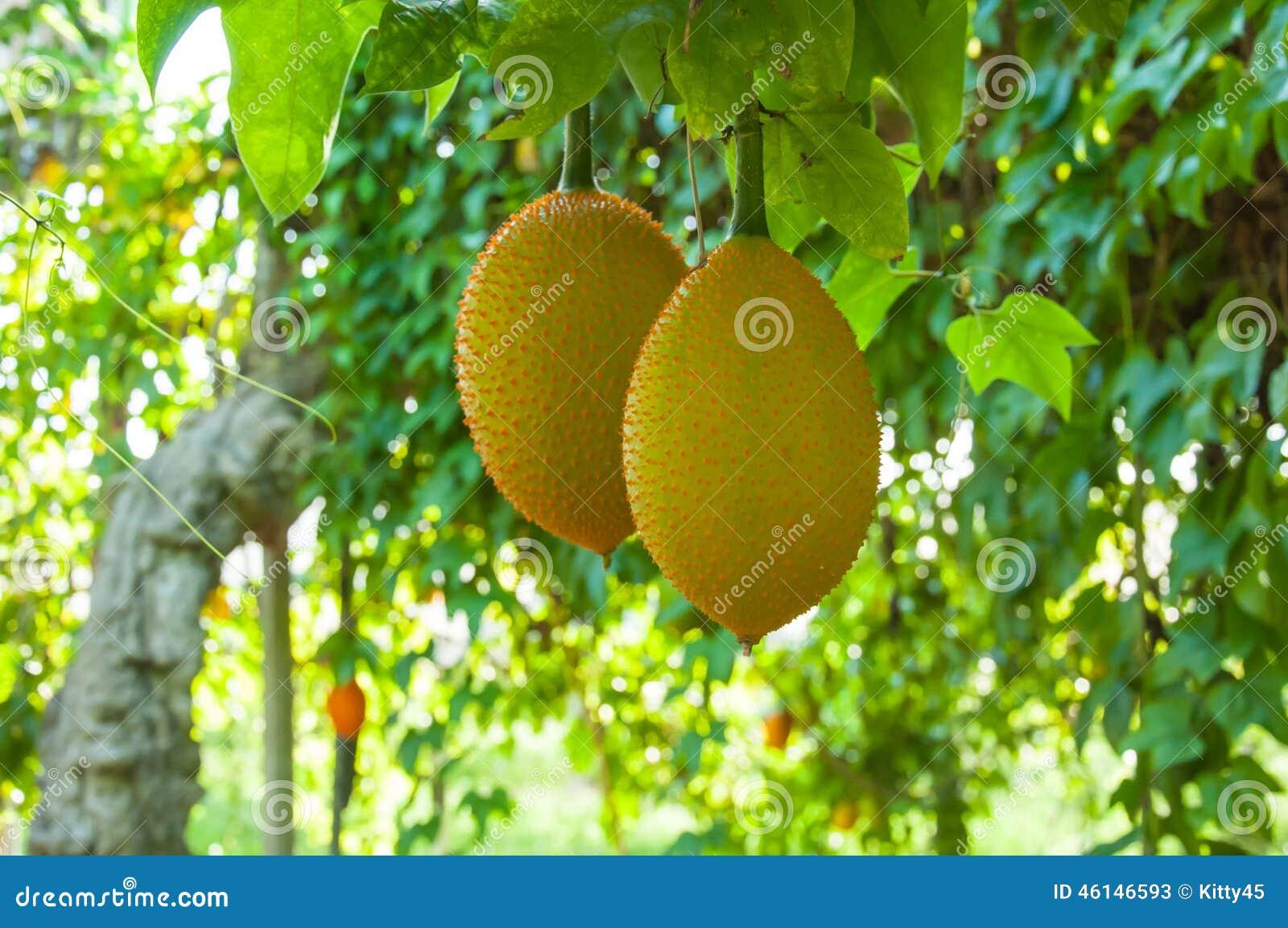 Καρπός Gac, μωρό Jackfruit