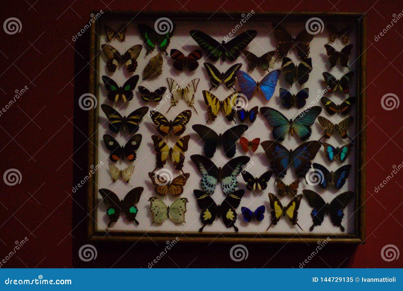Καρφωμένες πεταλούδες σε ένα κιβώτιο Φυσική ιστορία
