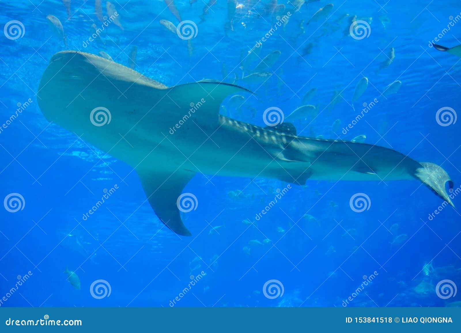 Καρχαρίας φαλαινών στο ενυδρείο