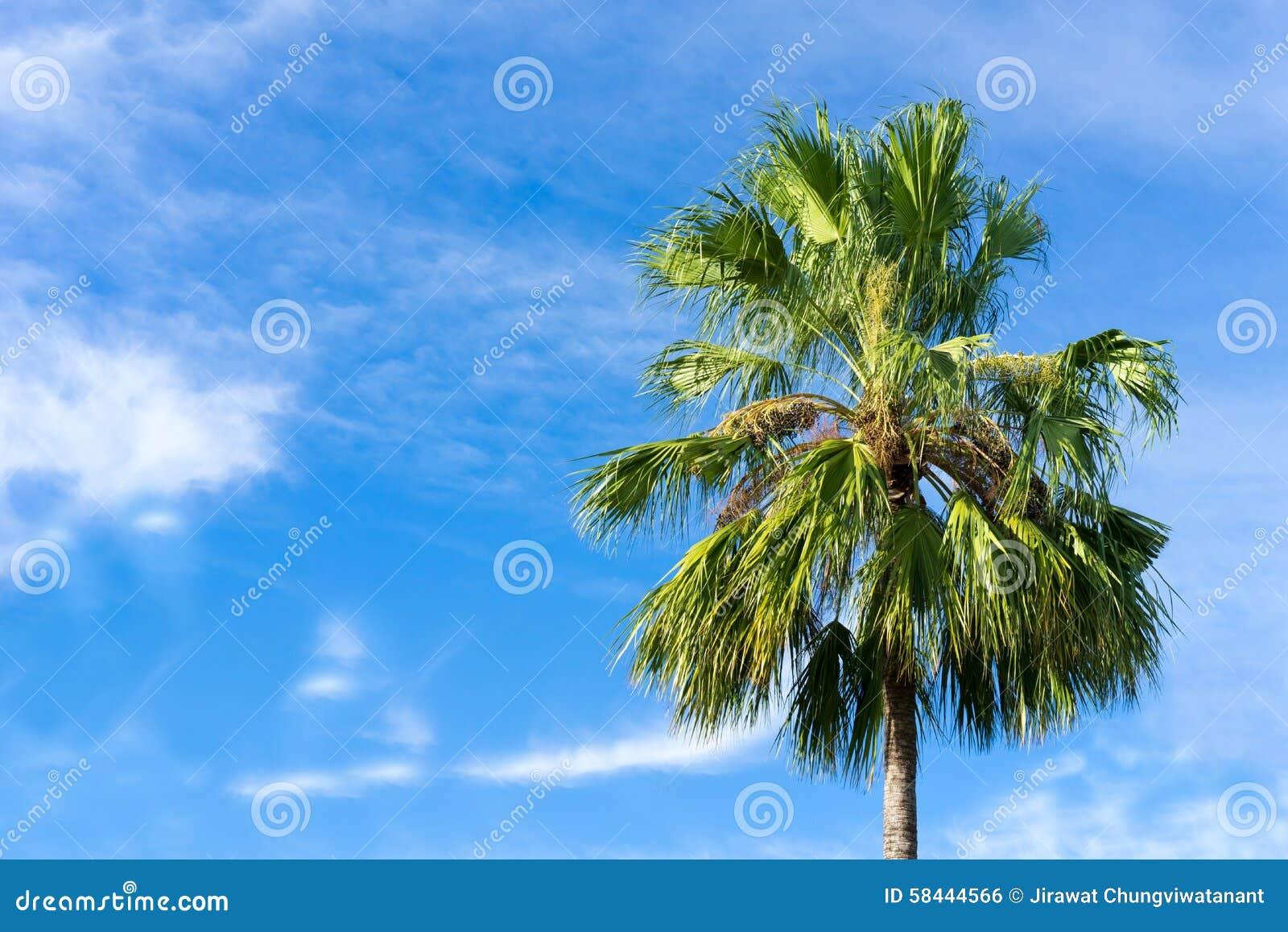 Καρύδα, δέντρο Plam