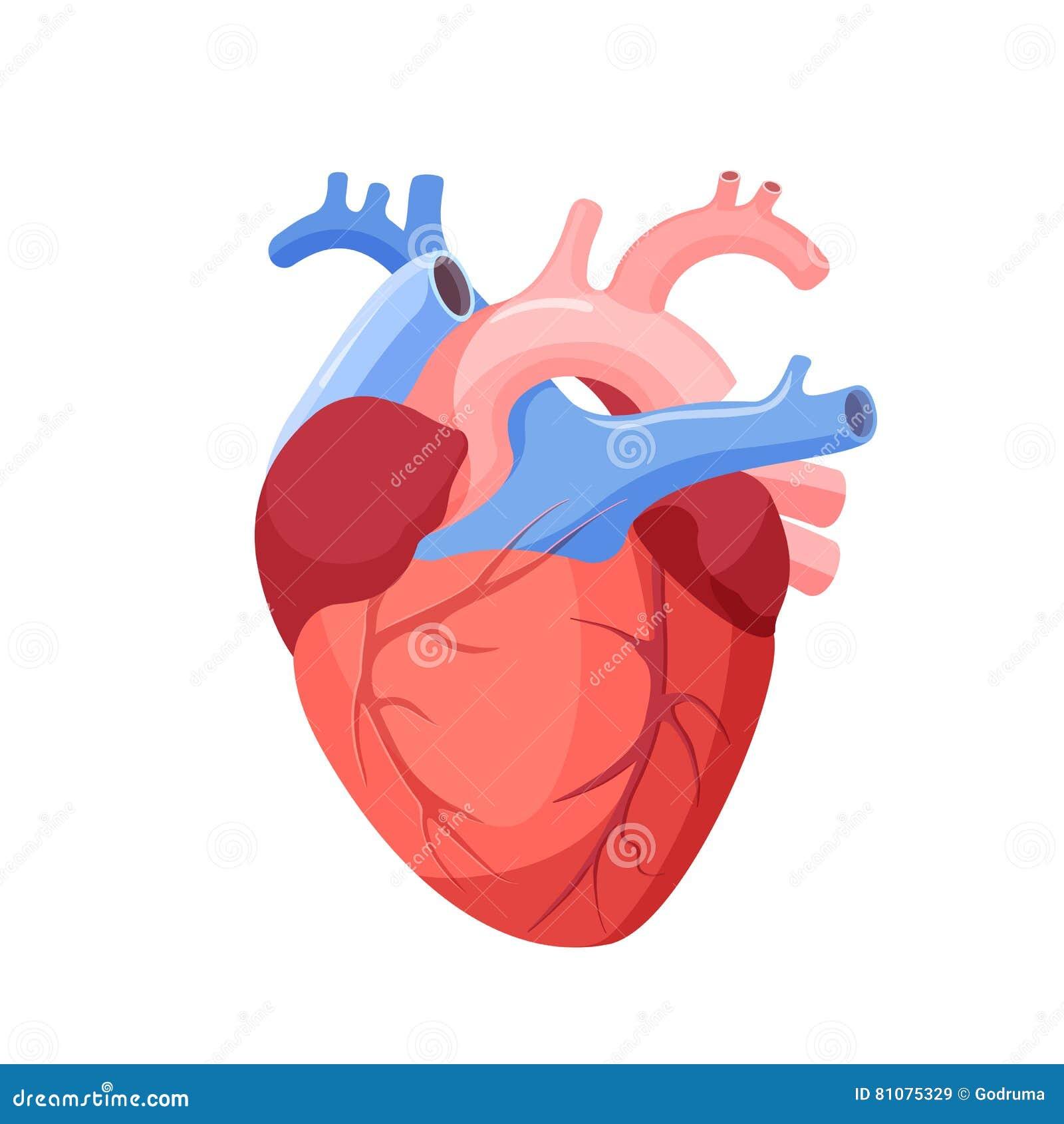 Καρδιά που απομονώνεται ανατομική Μυϊκό όργανο στον άνθρωπο