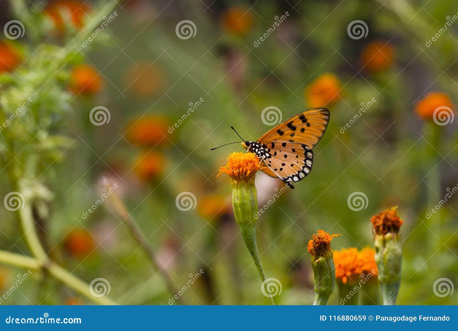 Καστανόξανθη πεταλούδα Coster - Acraea terpsicore