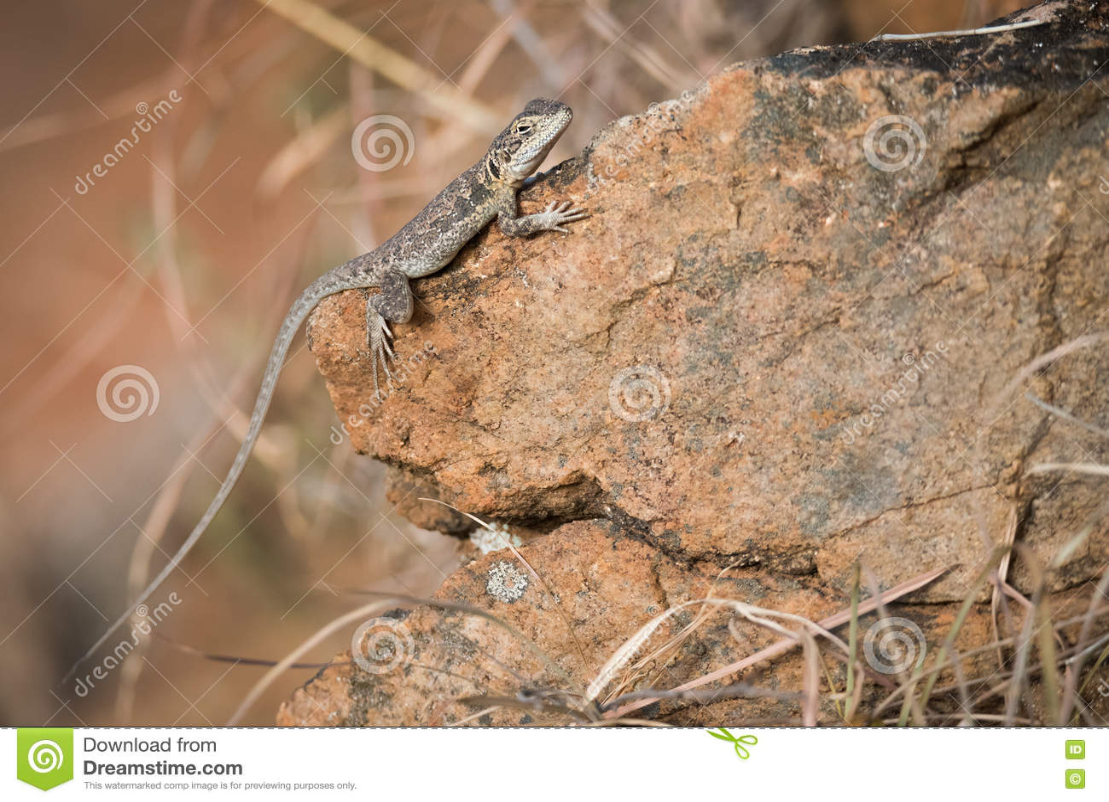 Καστανόξανθος δράκος