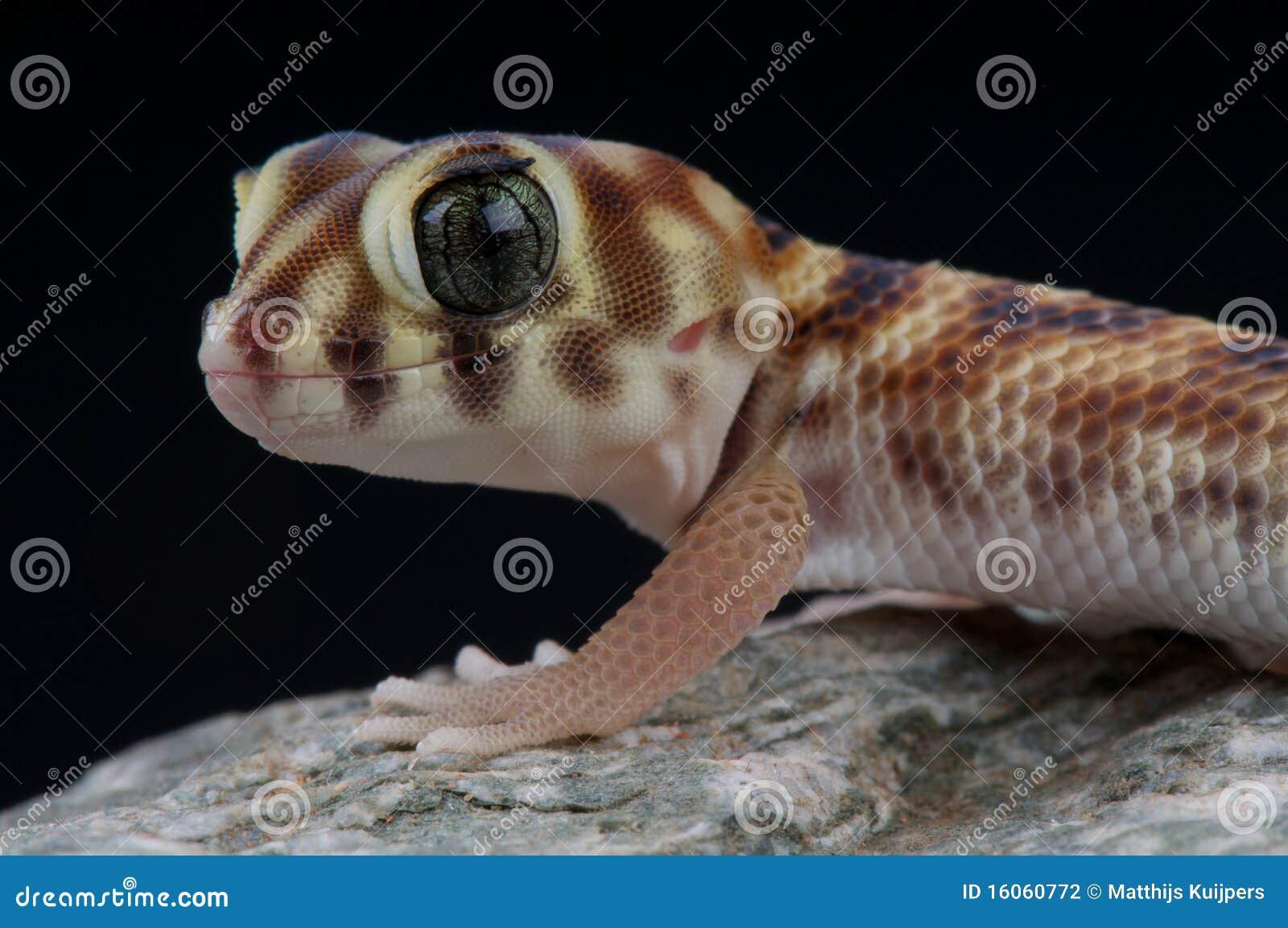 κατάπληξη gecko