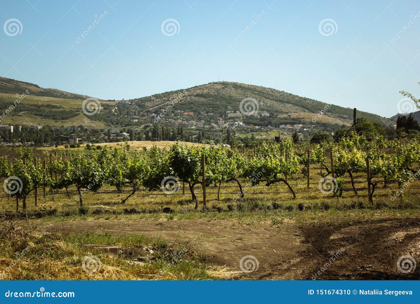 Καταπληκτικές απόψεις των αμπελώνων και των βουνών της Κριμαίας και ανθίζοντας lavender όμορφο τοπίο των βουνών