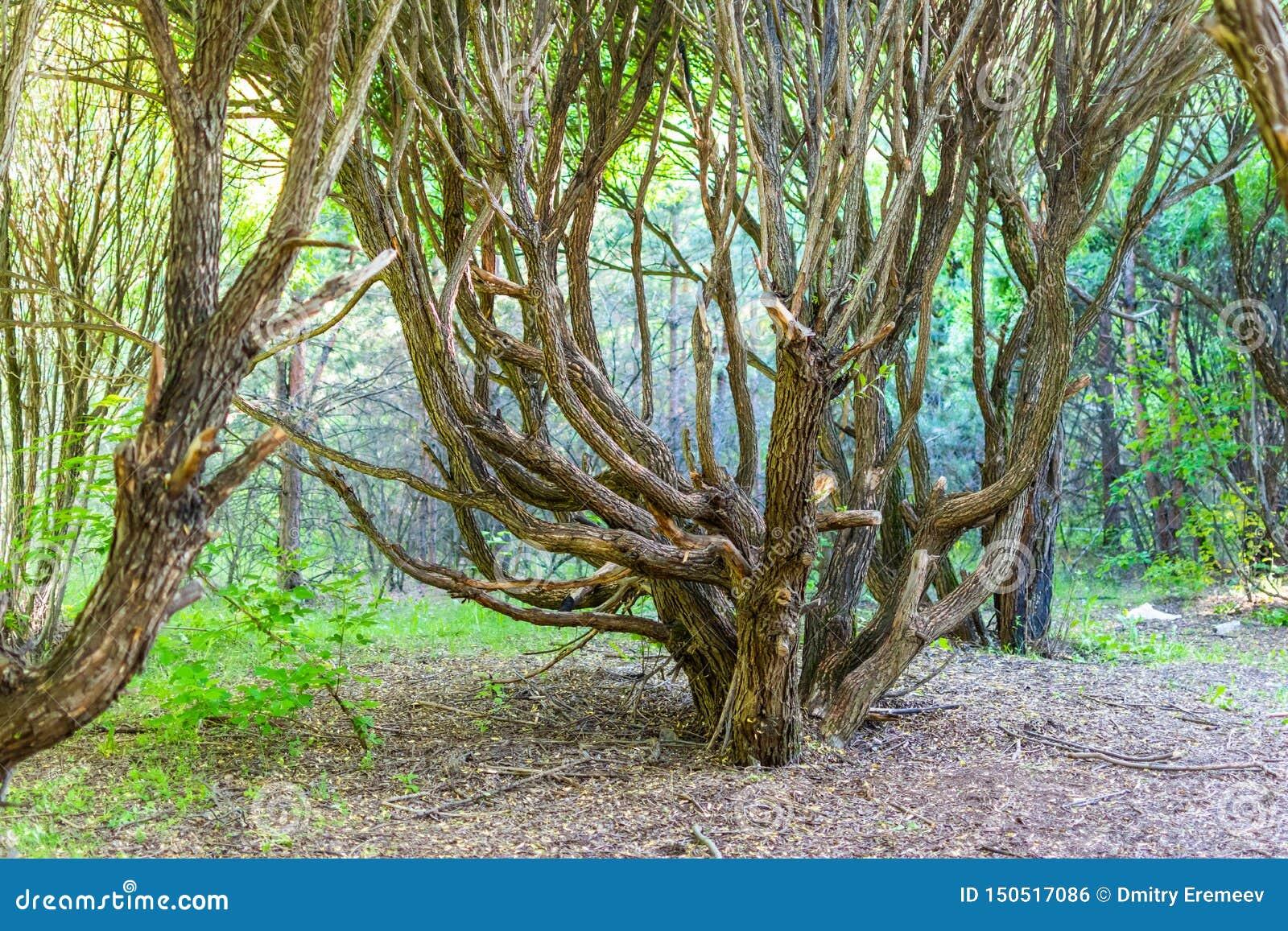 Καταπληκτικό δέντρο με τους στριμμένους κλάδους στο παλαιό δάσος