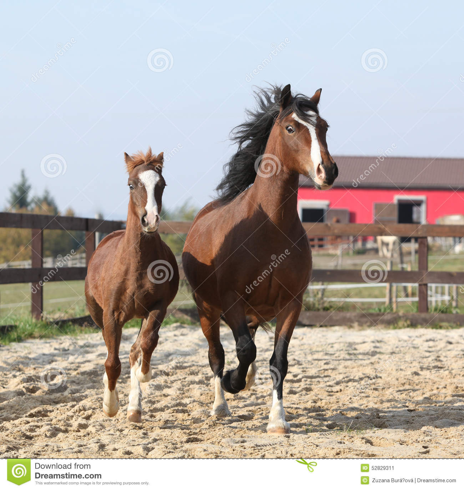 Καταπληκτική φοράδα με το όμορφο foal τρέξιμο