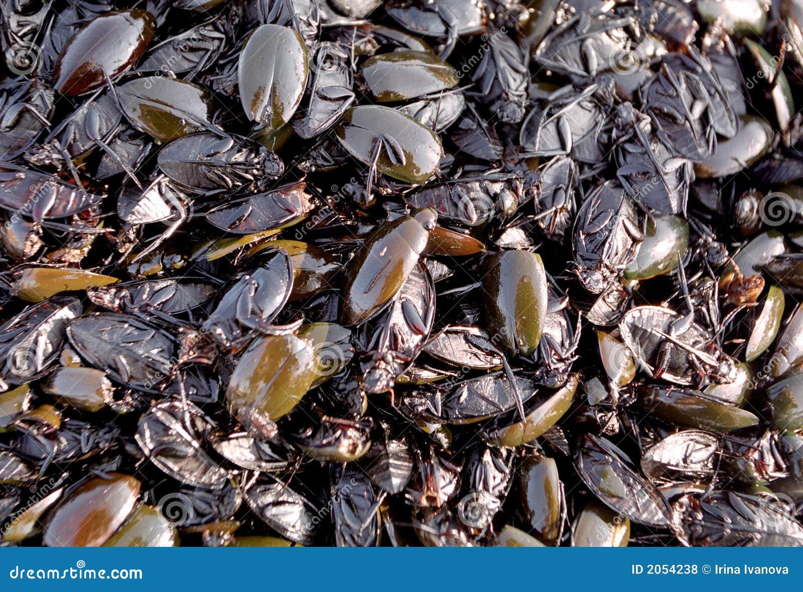 κατσαρίδες που τηγανίζο