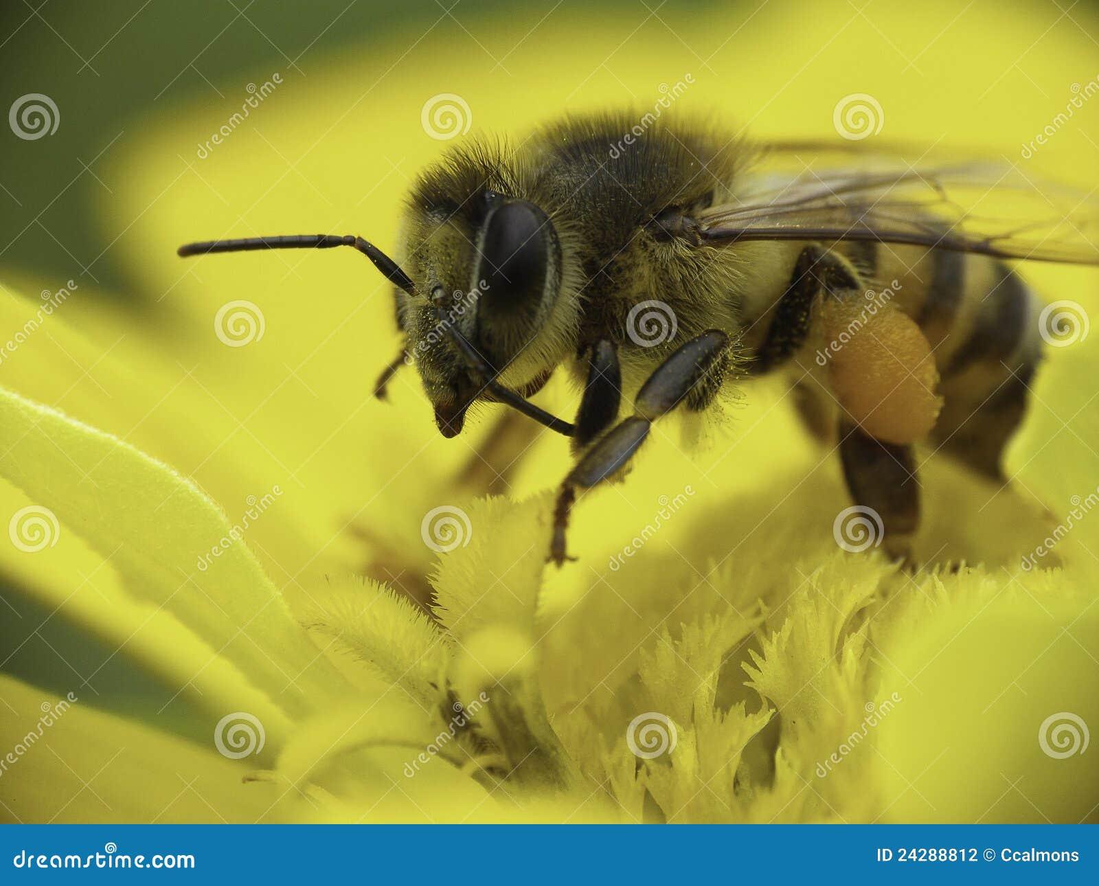 καυκάσια συλλέγοντας γύρη μελισσών