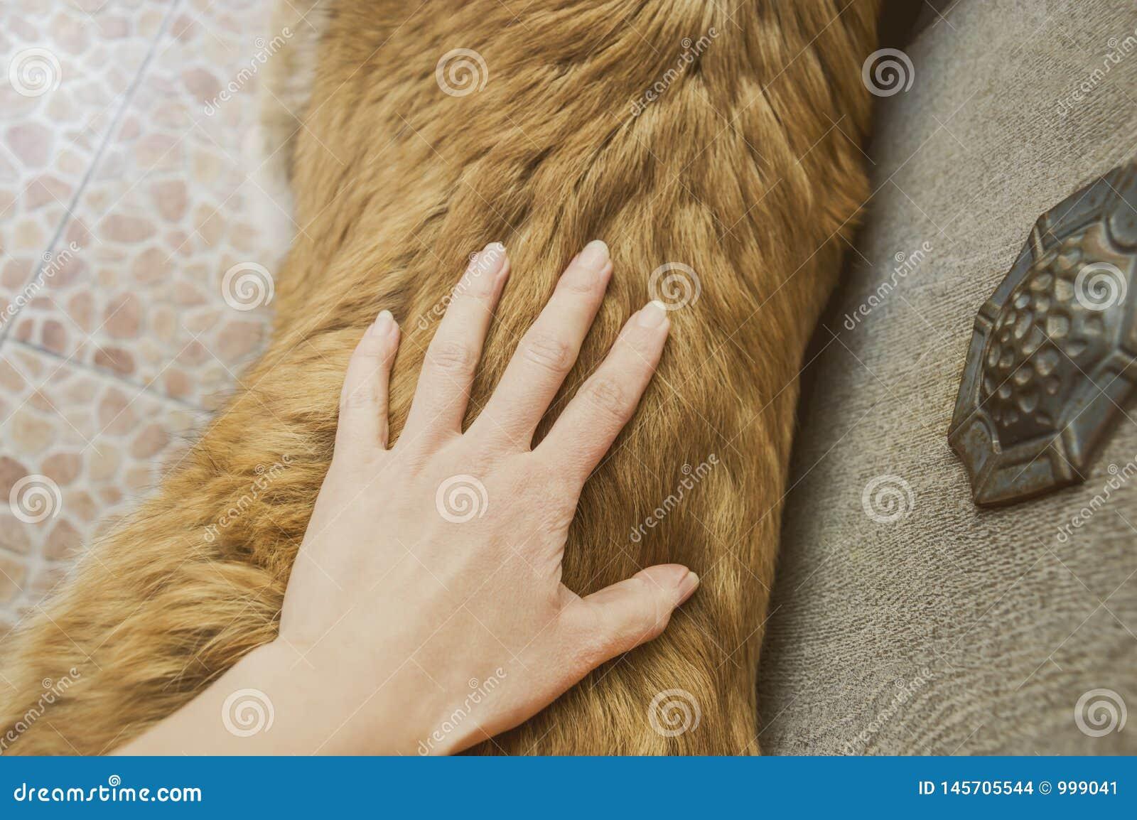 Καυκάσιο τσοπανόσκυλο δύο σκυλιών χρονών