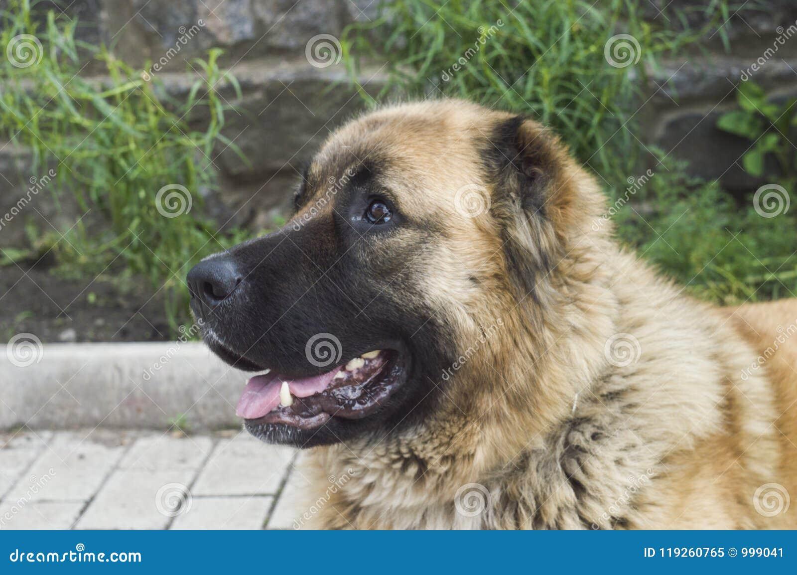 Καυκάσιο τσοπανόσκυλο δύο σκυλιών χρονών jpg