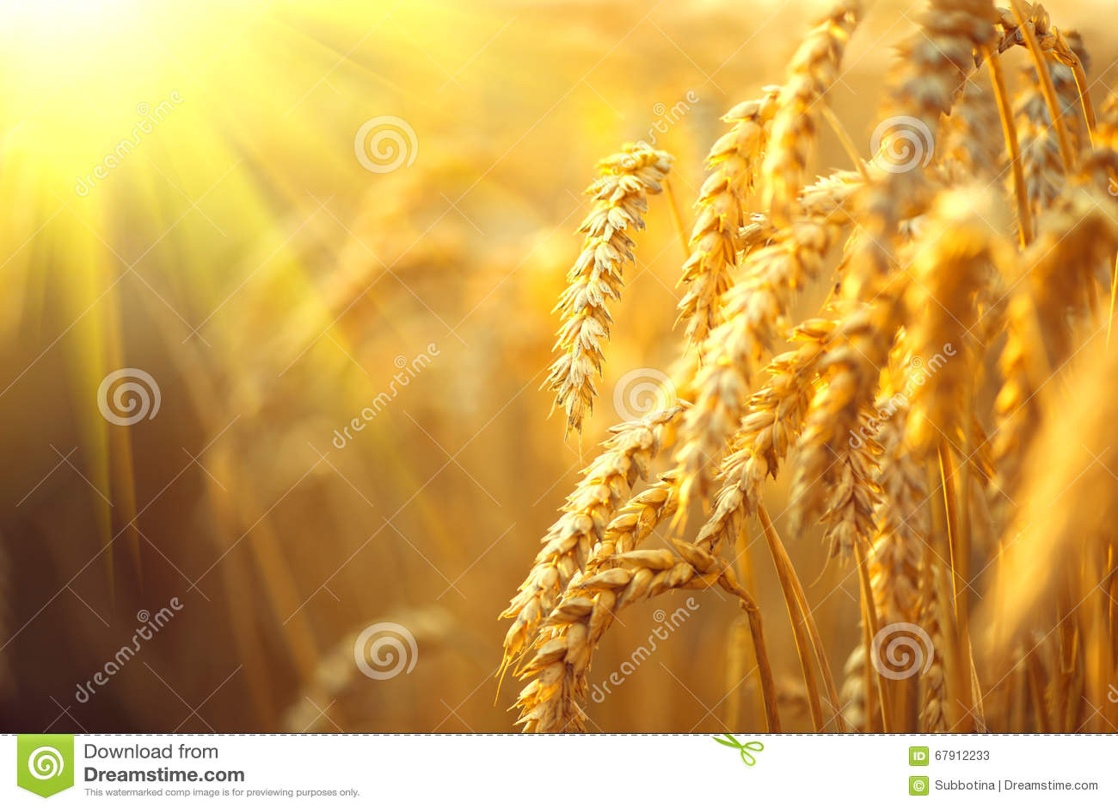 καυτός θερινός σίτος πεδίων ημέρας Αυτιά του χρυσού σίτου