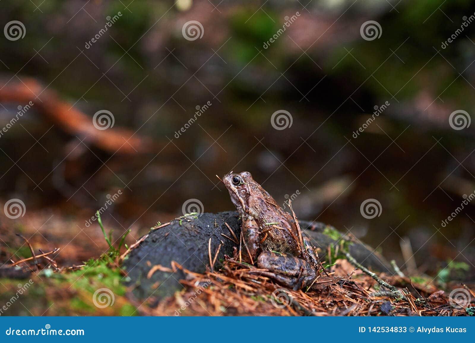 Καφετής βάτραχος στο δάσος