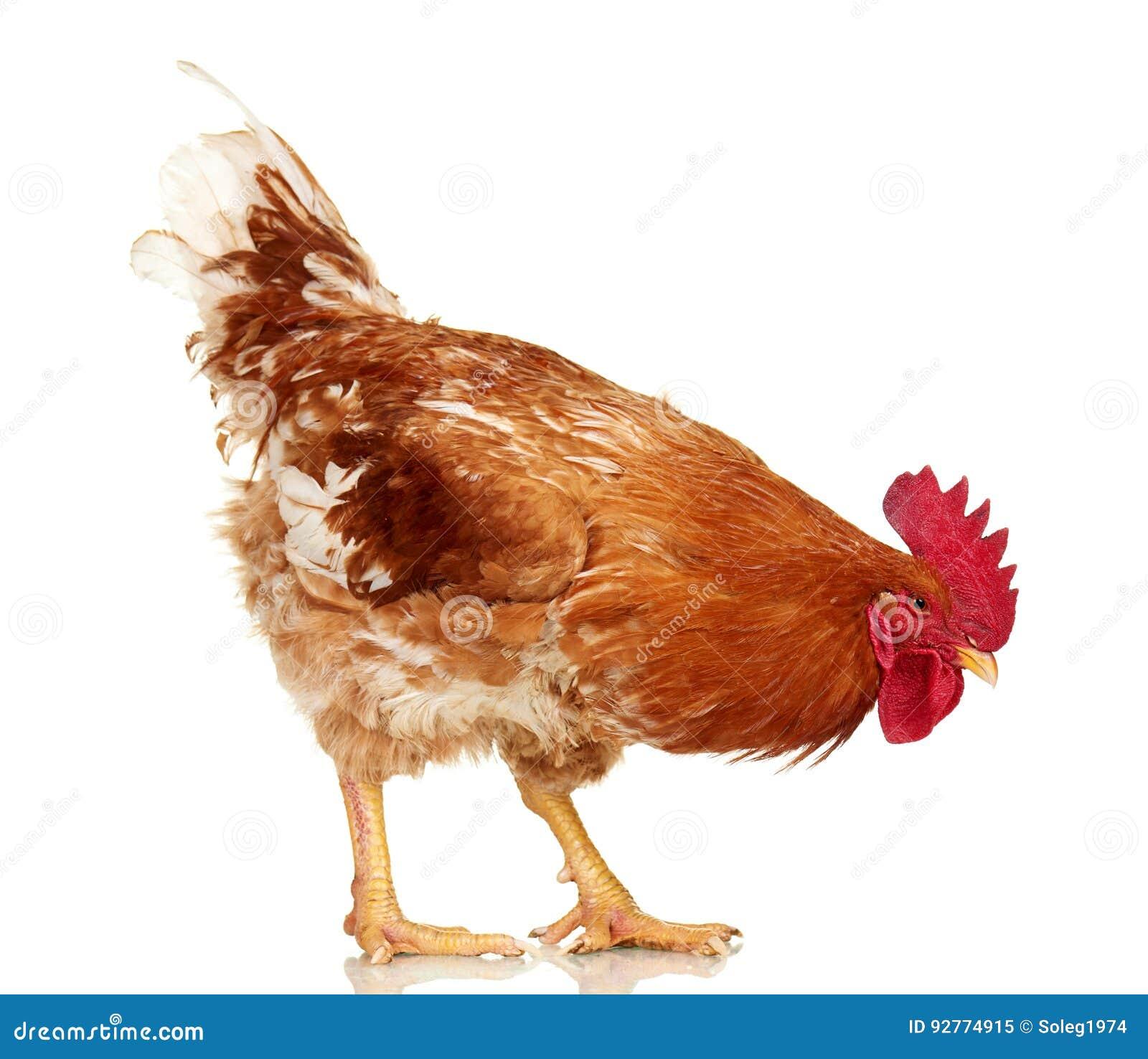 Καφετής κόκκορας στο άσπρο υπόβαθρο, απομονωμένο αντικείμενο, ζωντανό κοτόπουλο, ένα ζώο αγροκτημάτων κινηματογραφήσεων σε πρώτο