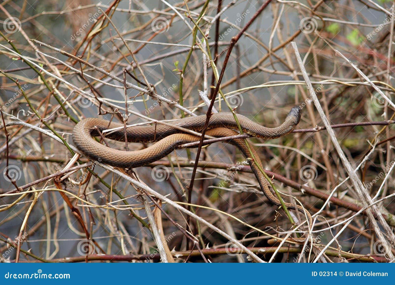 καφετί φίδι
