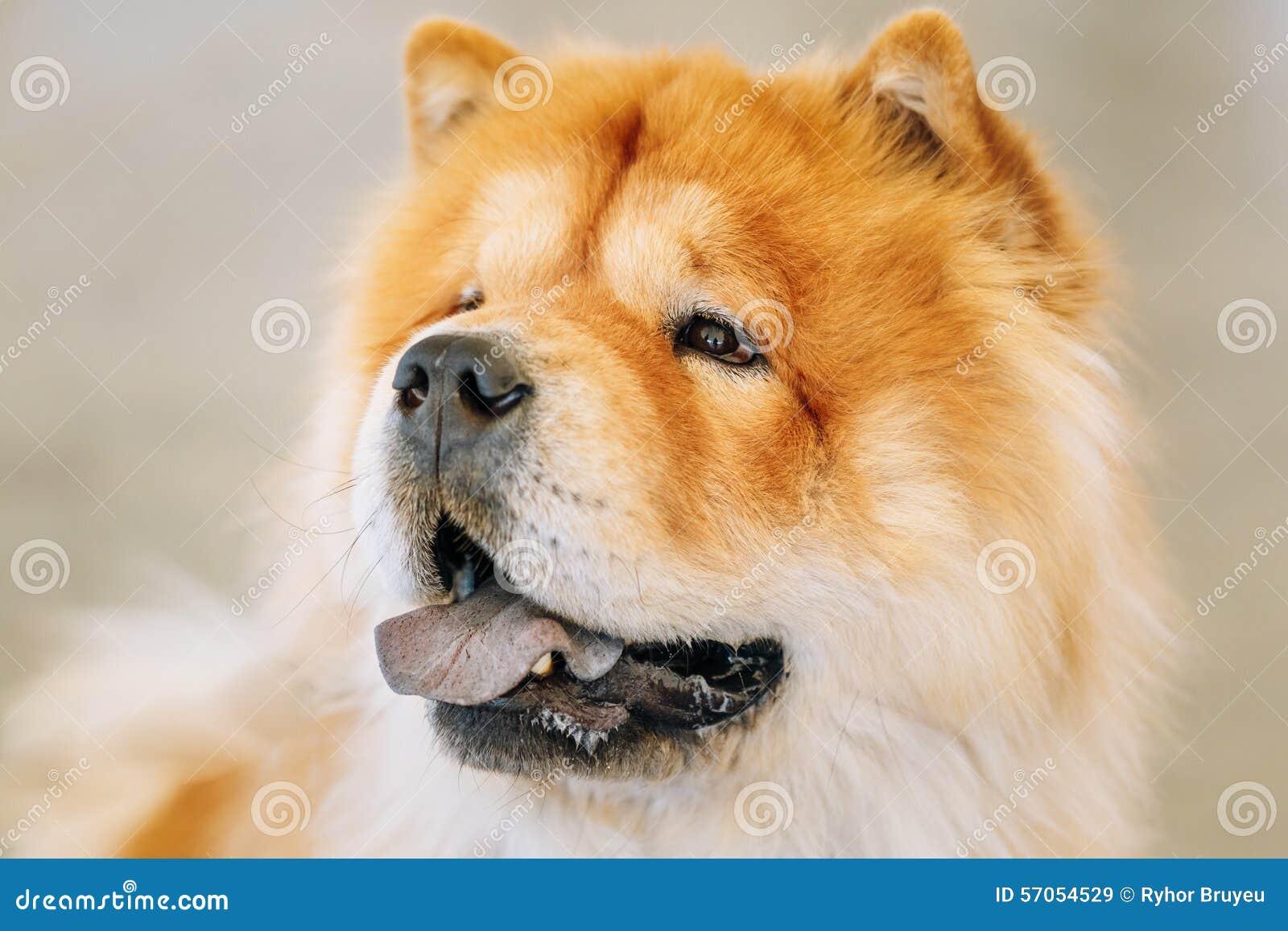 Καφετί chow ραχών chow σκυλί
