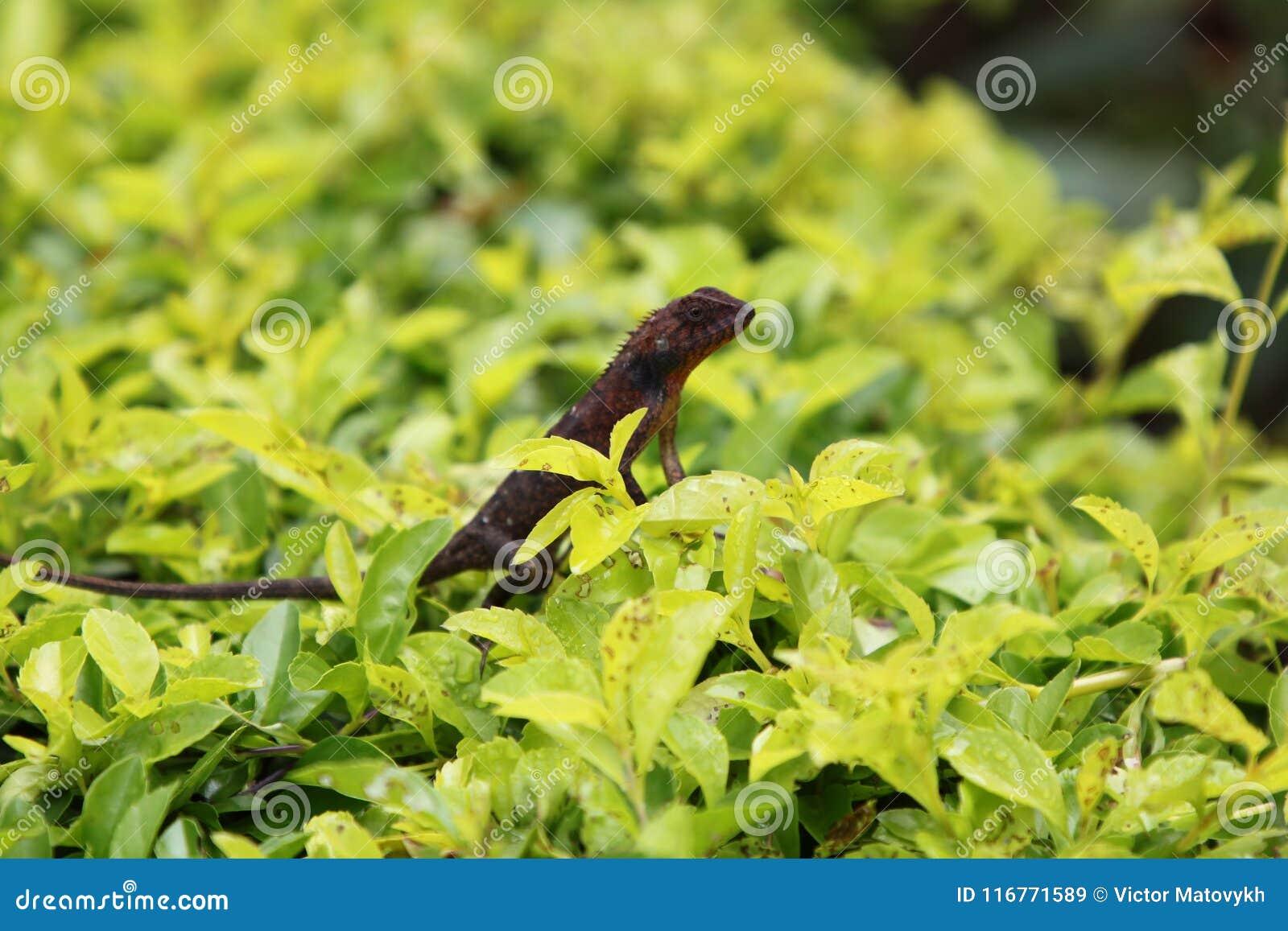 Καφετί gecko σε ένα υπόβαθρο χλόης