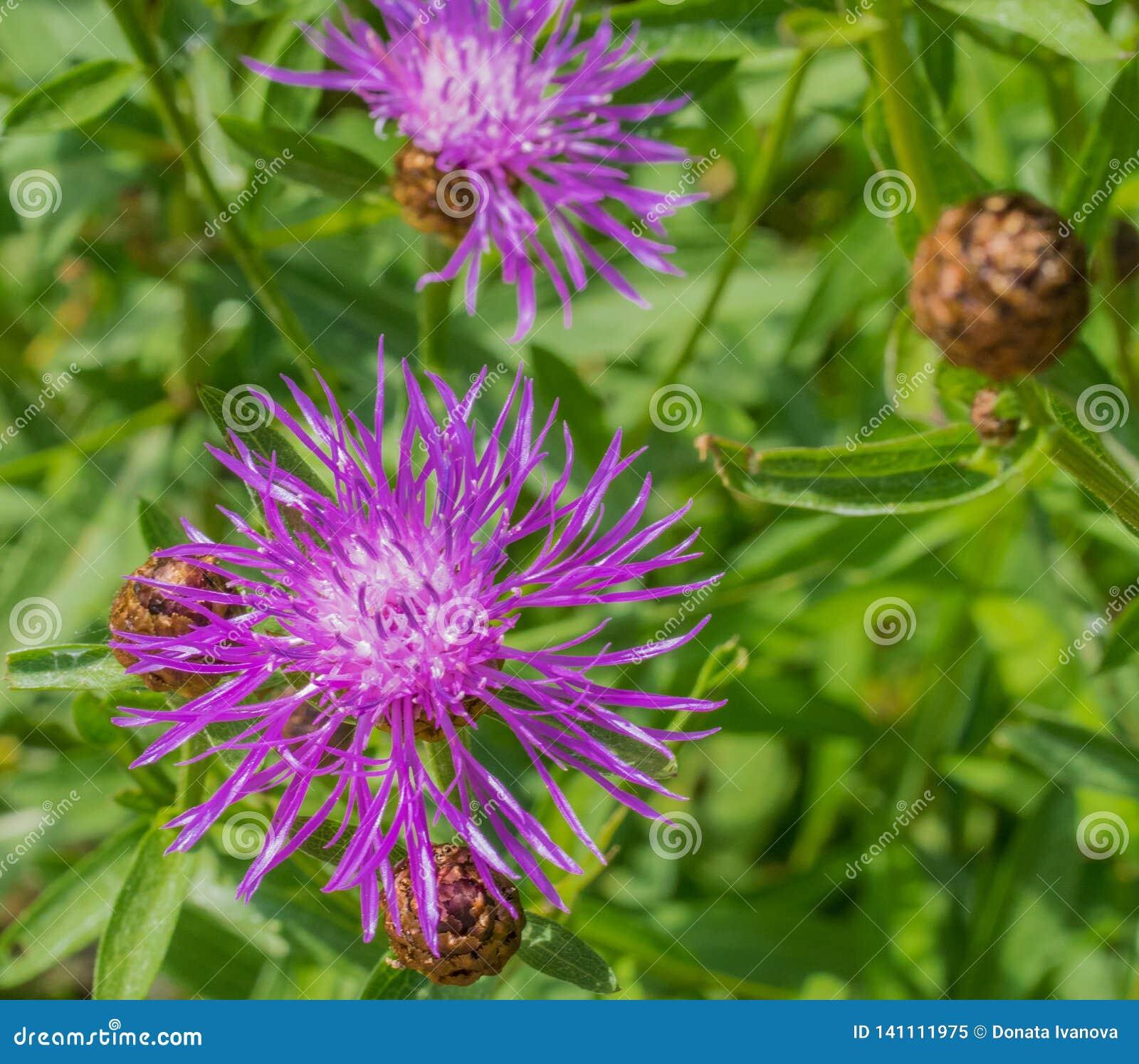 Καφετί knapweed jacea Centaurea ή brownray knapweed κινηματογράφηση σε πρώτο πλάνο Λουλούδι που ανθίζει την άνοιξη