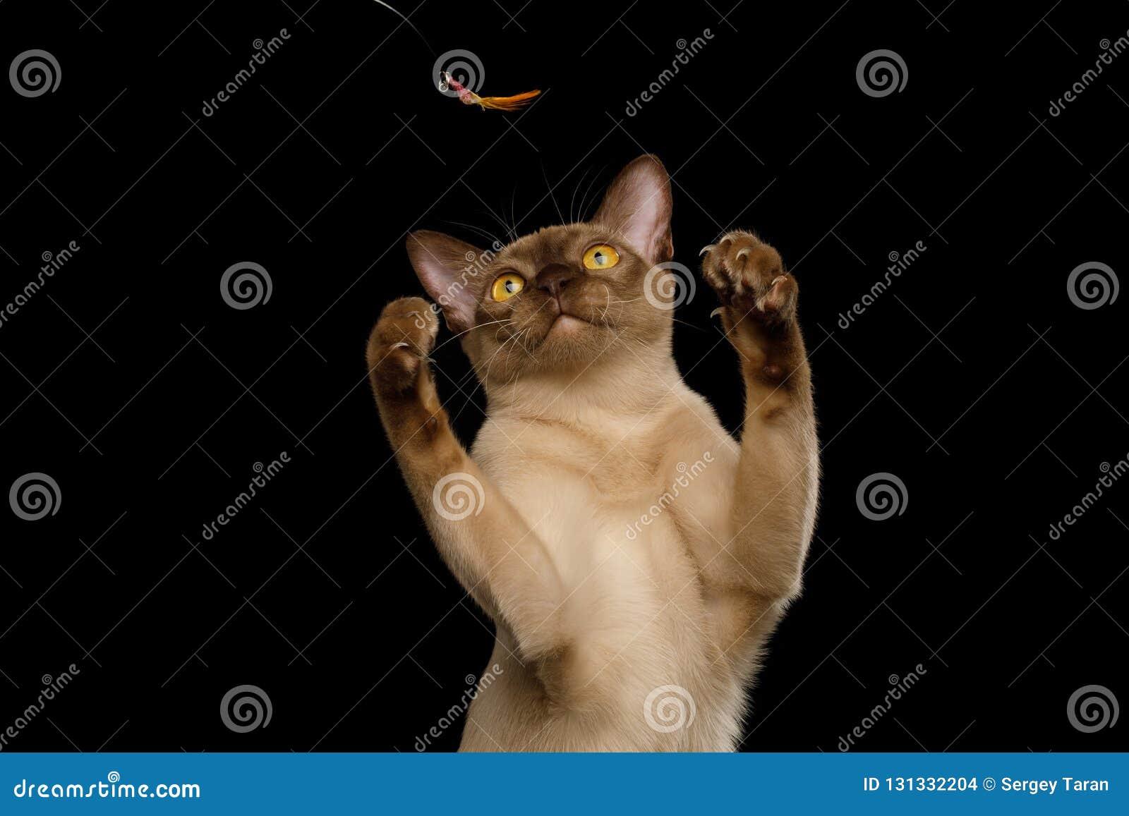 Καφετιά γάτα της Βιρμανίας που απομονώνεται στο μαύρο υπόβαθρο