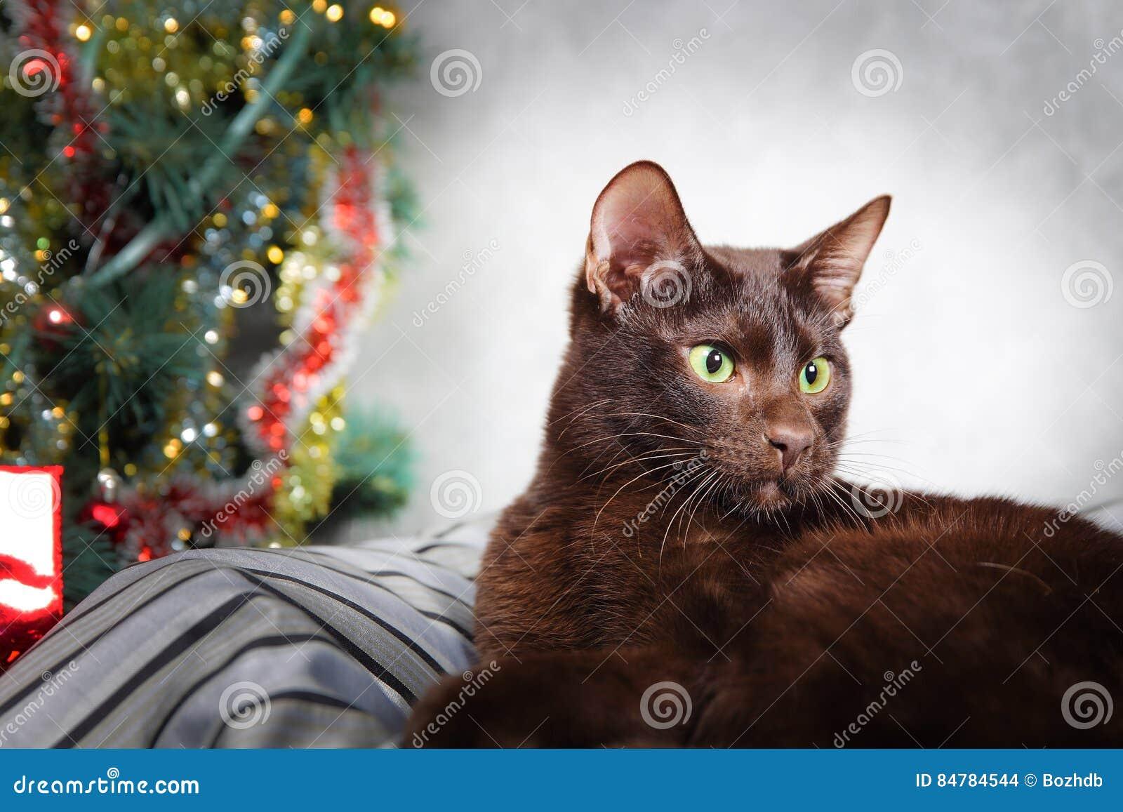 756325be14ed Καφετιά Αβάνα σιαμέζα - η ασιατική γάτα στο υπόβαθρο χριστουγεννιάτικων  δέντρων