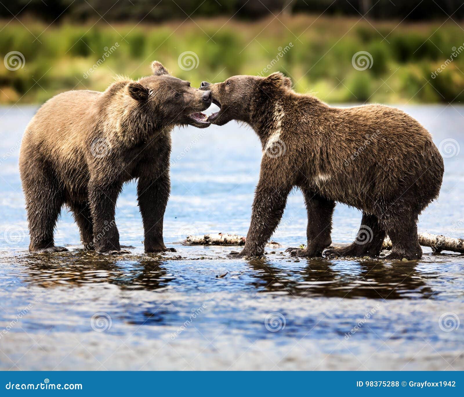 Καφετιές αρκούδες Katmai  Πτώσεις ρυακιών  Αλάσκα  ΗΠΑ