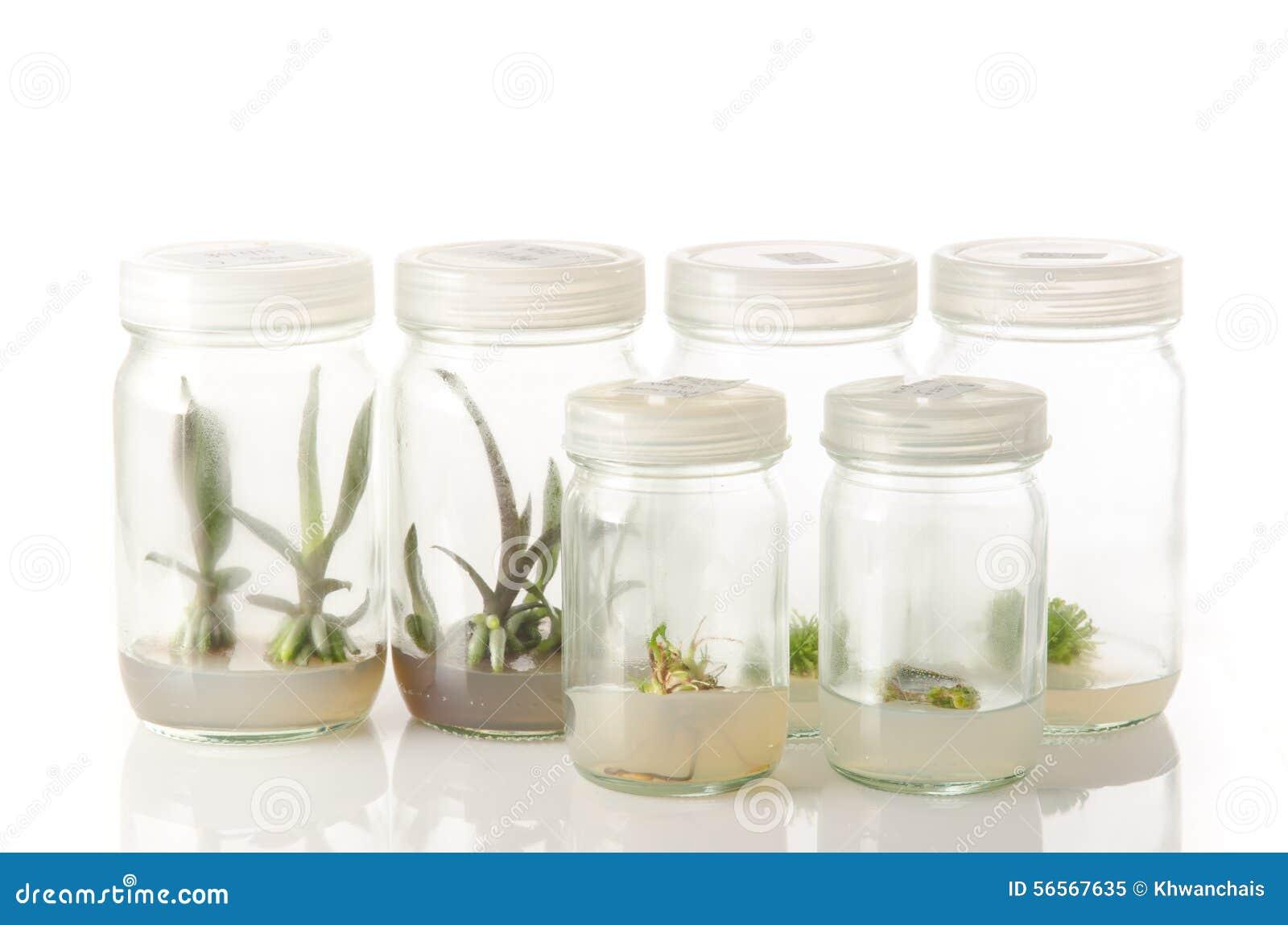 Καλλιέργειες ιστού εγκαταστάσεων