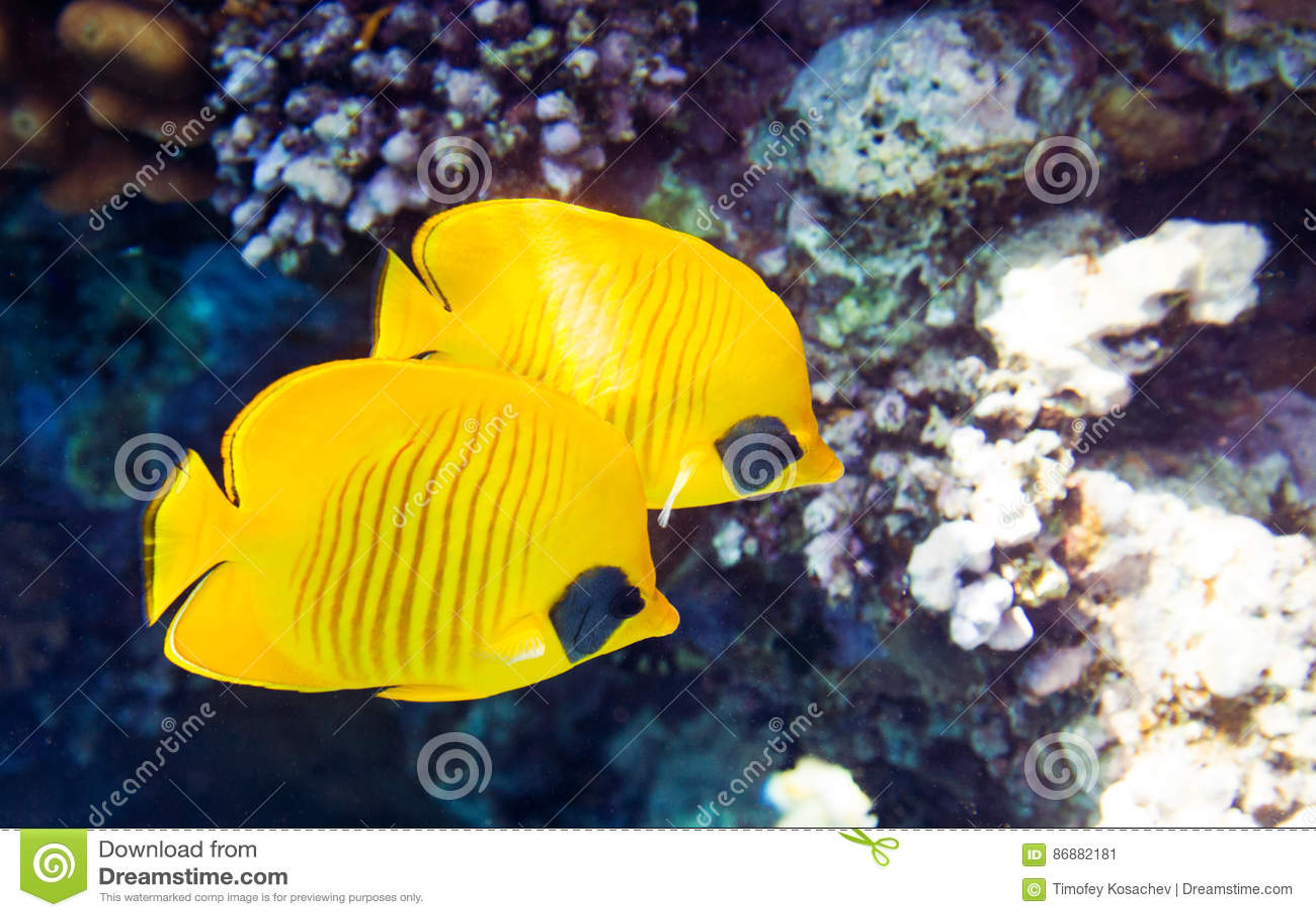Καλυμμένο butterflyfish semilarvatus Chaetodon