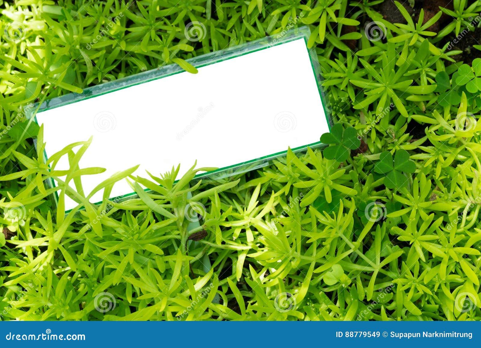 Κενή άσπρη αφίσσα στις μικρές πράσινες εγκαταστάσεις Crassulaceae succulent, sedum angelina