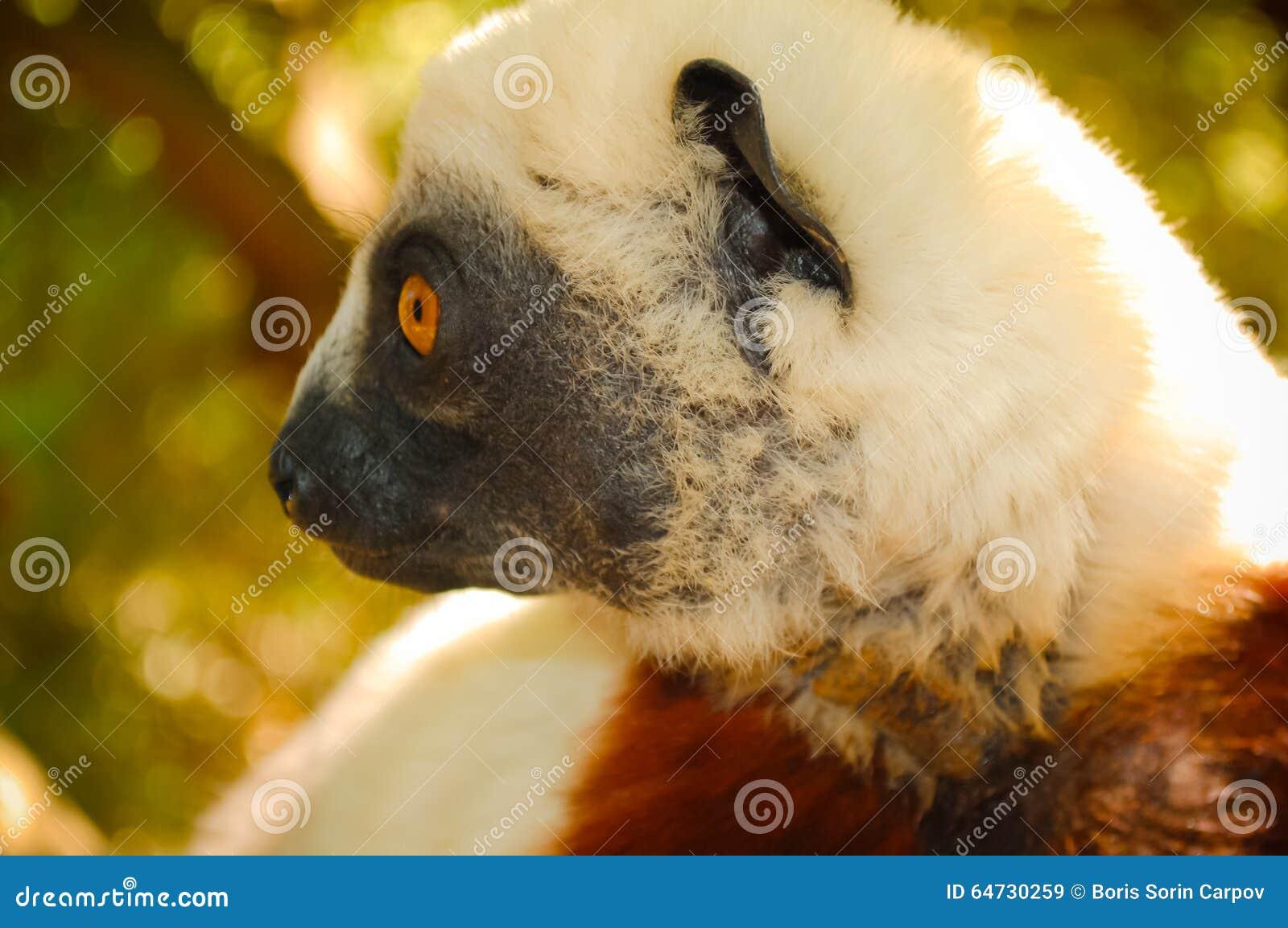 Κερκοπίθηκος κινηματογραφήσεων σε πρώτο πλάνο Μαδαγασκάρη
