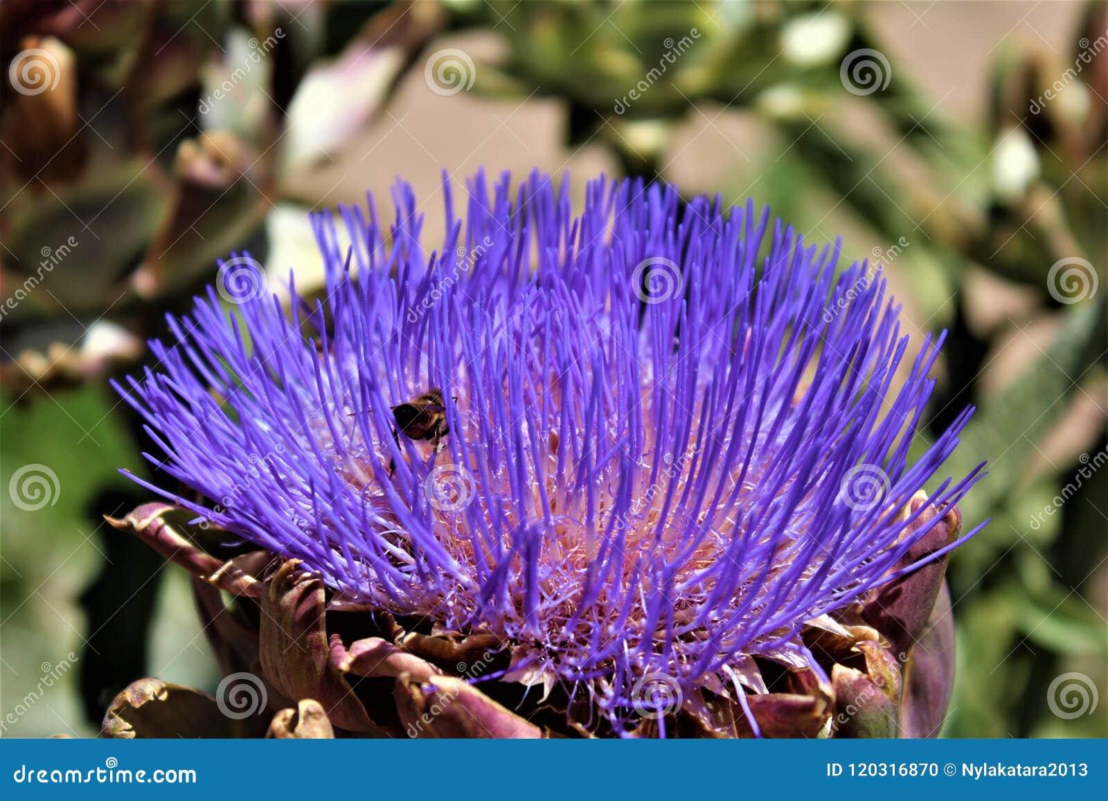 Κεφάλι αγκιναρών με το λουλούδι στην άνθιση με μια μέλισσα