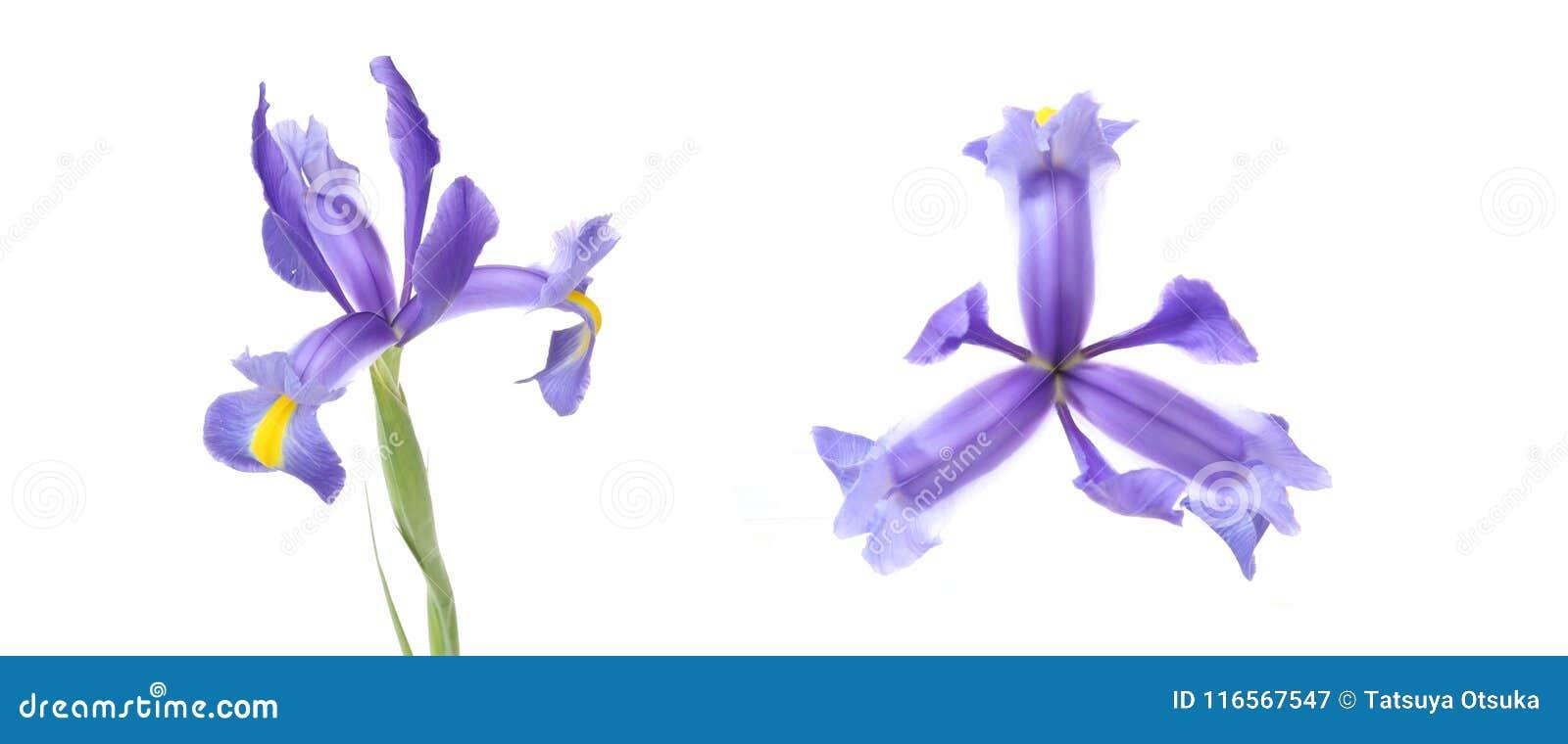 Κεφάλι λουλουδιών της ίριδας σε ένα άσπρο υπόβαθρο