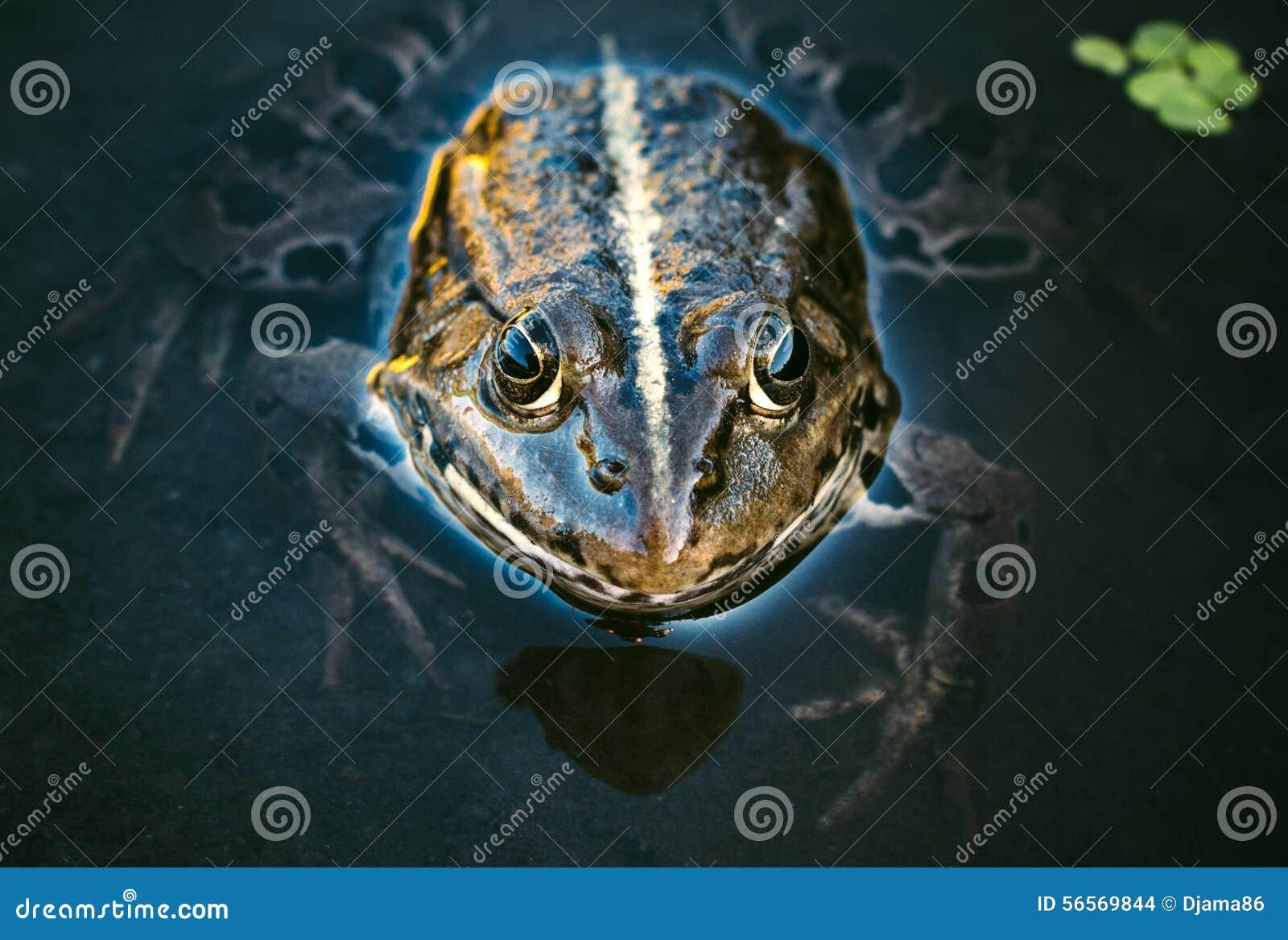 Download Κεφάλι βατράχων στοκ εικόνες. εικόνα από πράσινος, φύση - 56569844