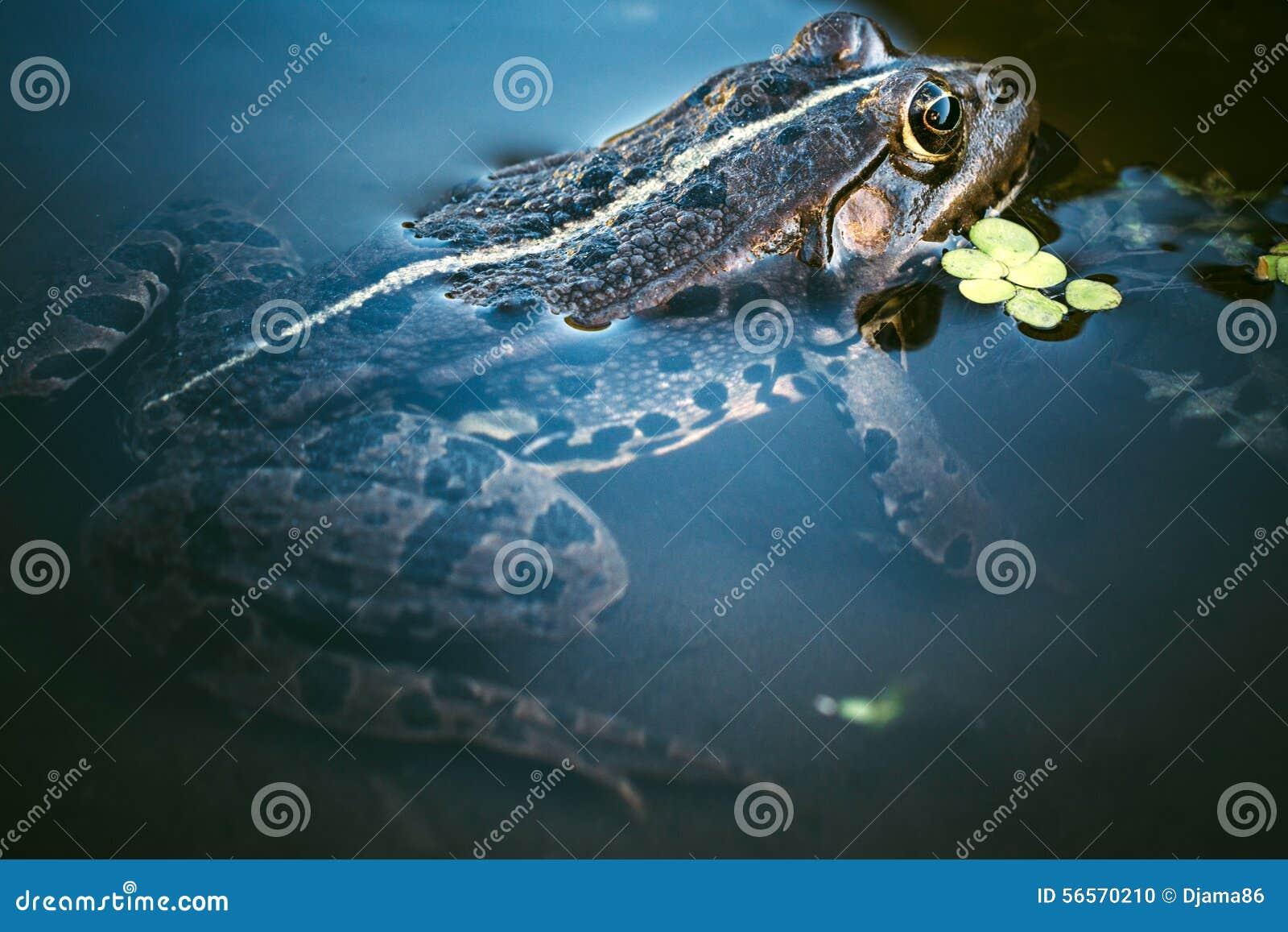 Download Κεφάλι βατράχων στοκ εικόνες. εικόνα από ερπετό, μακροεντολή - 56570210