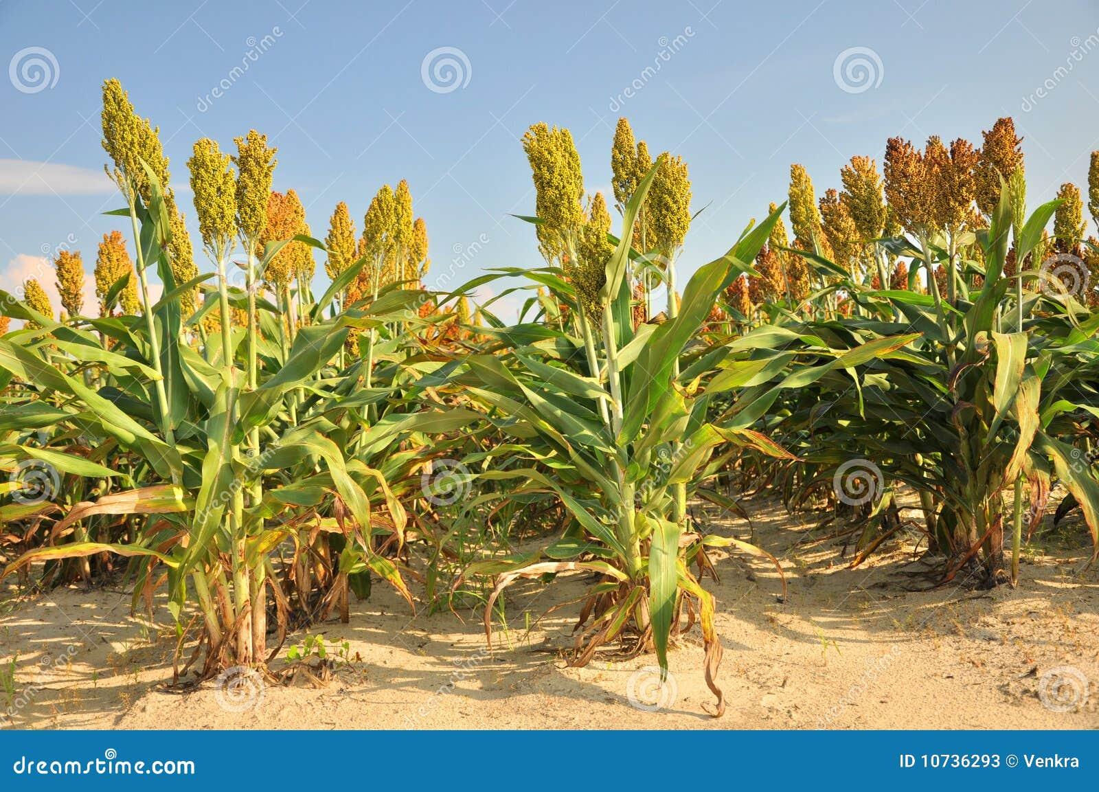 Αποτέλεσμα εικόνας για κεχρι καλλιεργεια
