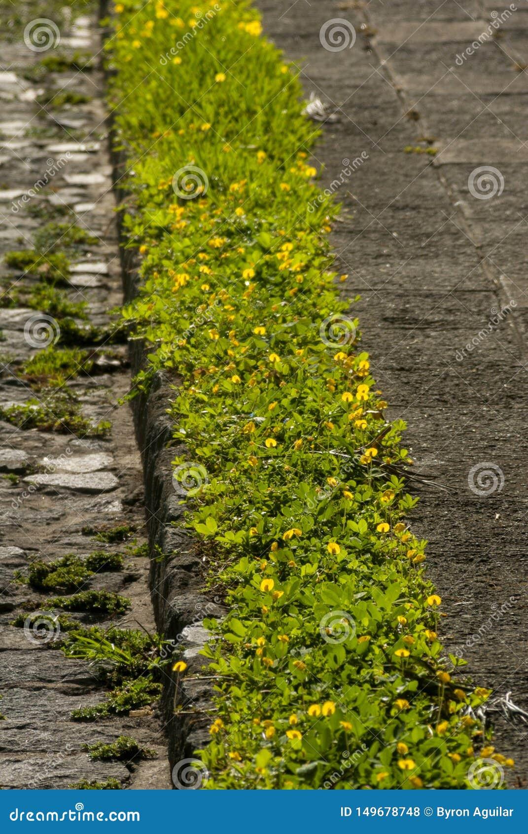 Κηπουρός οδών πεζοδρομίων στη Γουατεμάλα, cetral Αμερική
