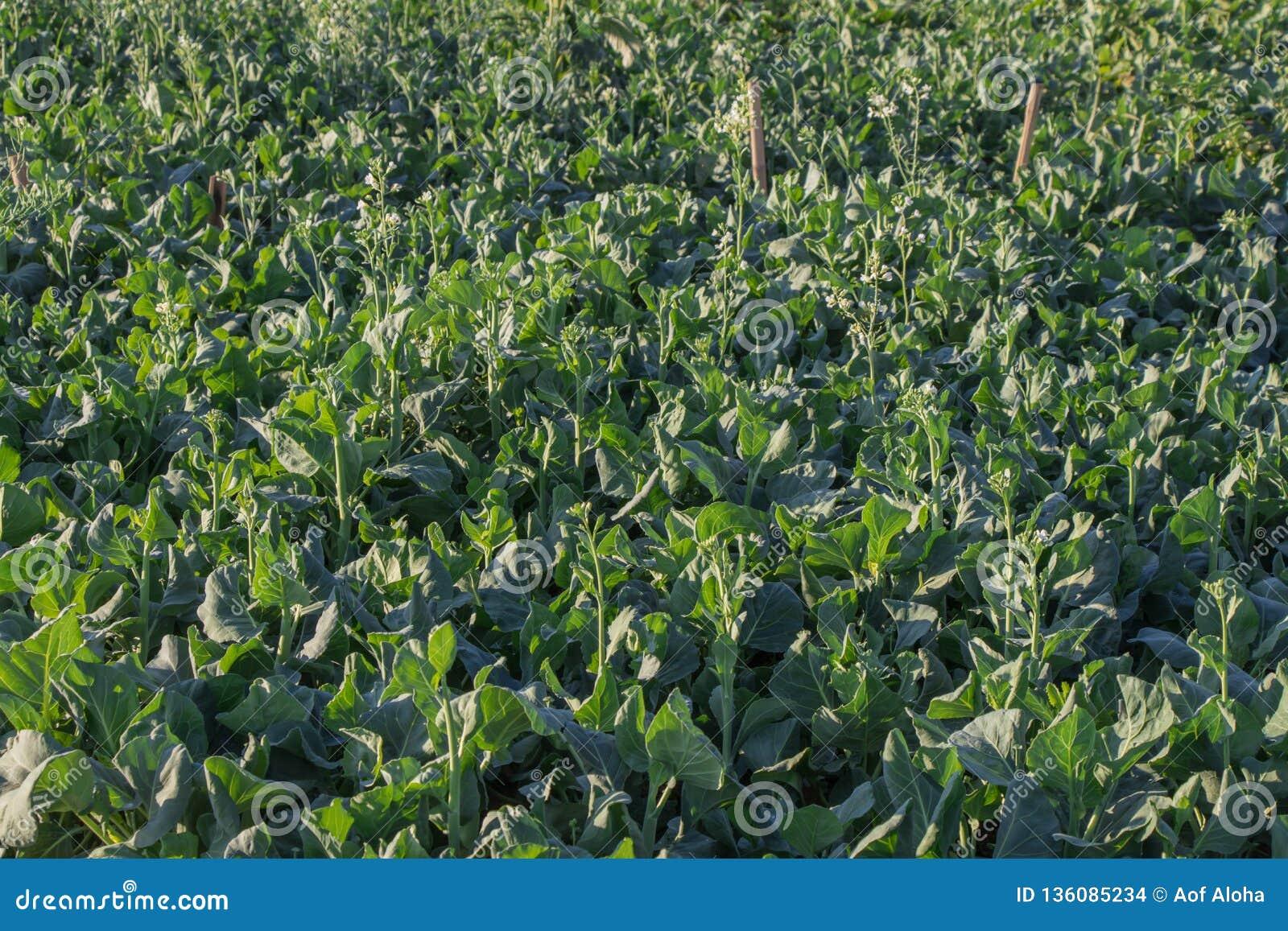 κινεζικό λαχανικό κατσαρ Πράσινος οργανικός φυτικός κήπος Εγκαταστάσεις σε ένα λαχανικό στο αγρόκτημα