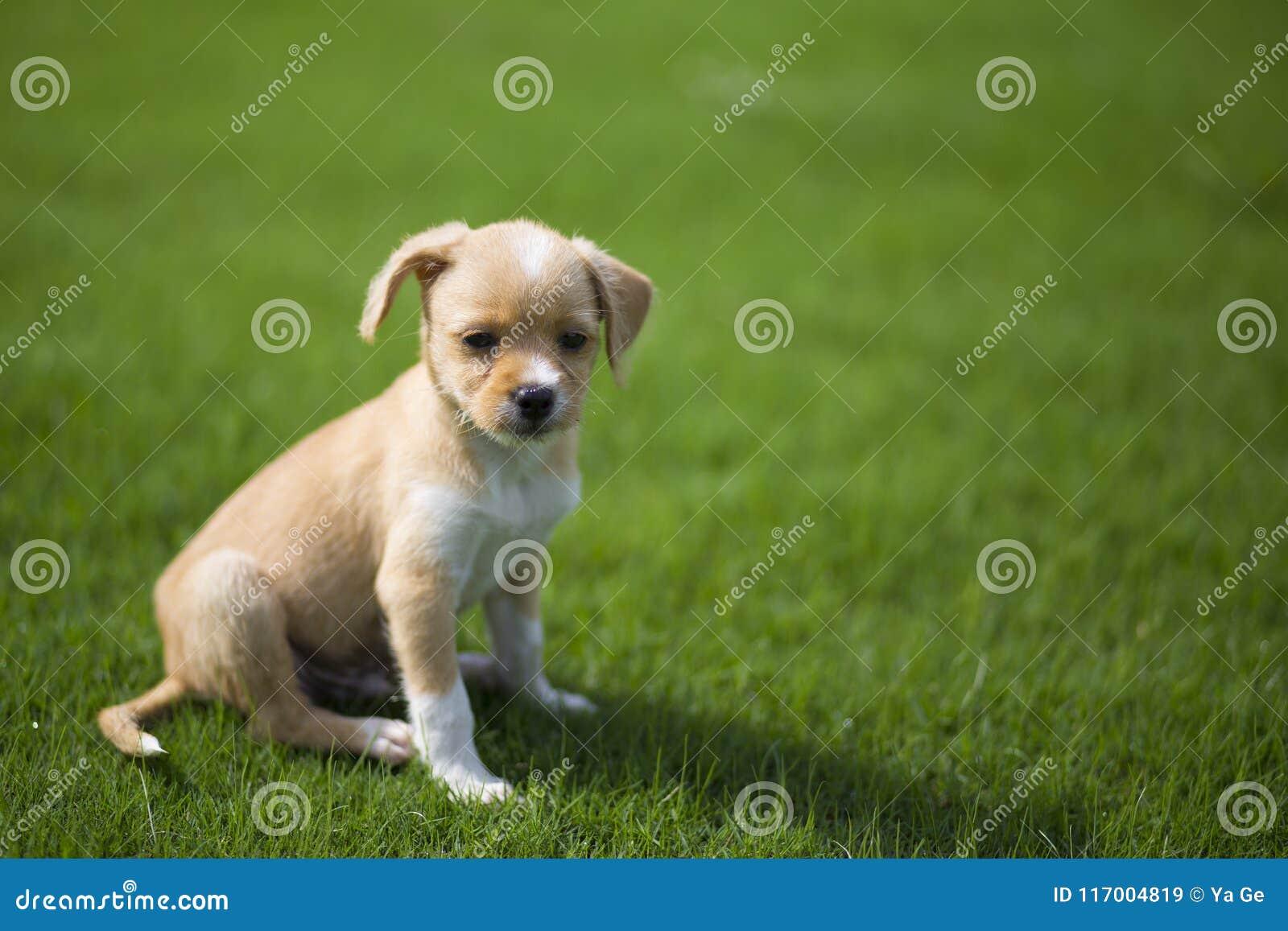 Κινεζικό ποιμενικό σκυλί