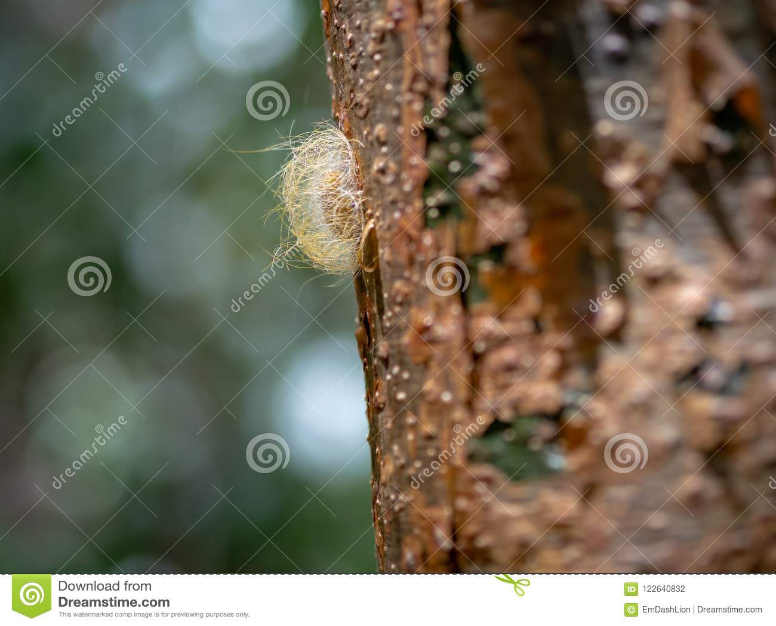Κινηματογράφηση σε πρώτο πλάνο ενός κουκουλιού εντόμων στην πλευρά ενός δέντρου gumbo-κενών μέσα