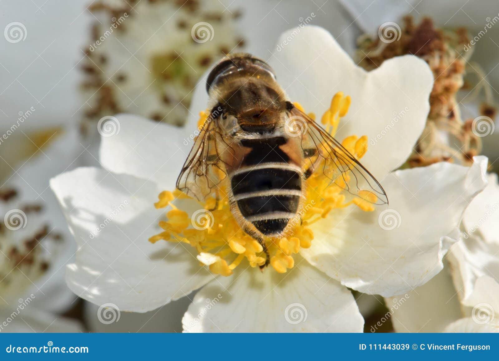 Κινηματογράφηση σε πρώτο πλάνο μελισσών στον άσπρο ουρανό 03 λουλουδιών
