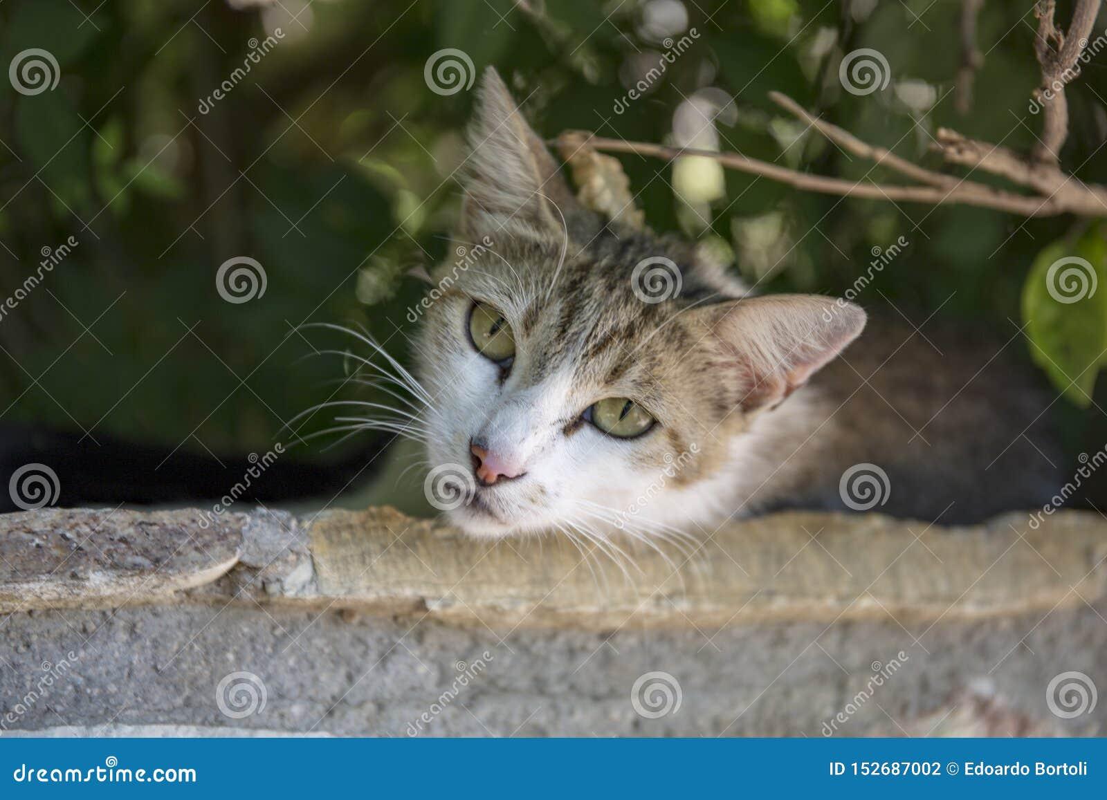 Κινηματογράφηση σε πρώτο πλάνο μιας γκρίζας γάτας με τα πράσινα μάτια