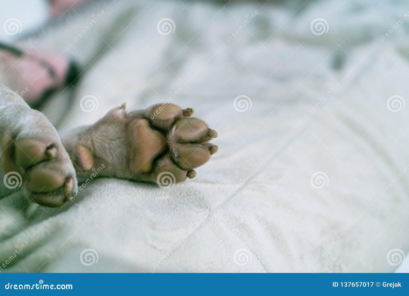 Κινηματογράφηση σε πρώτο πλάνο ποδιών σκυλιών Πόδι του λευκού τεριέ ταύρων στον τάπητα Μακροεντολή του άσπρου ποδιού σκυλιών