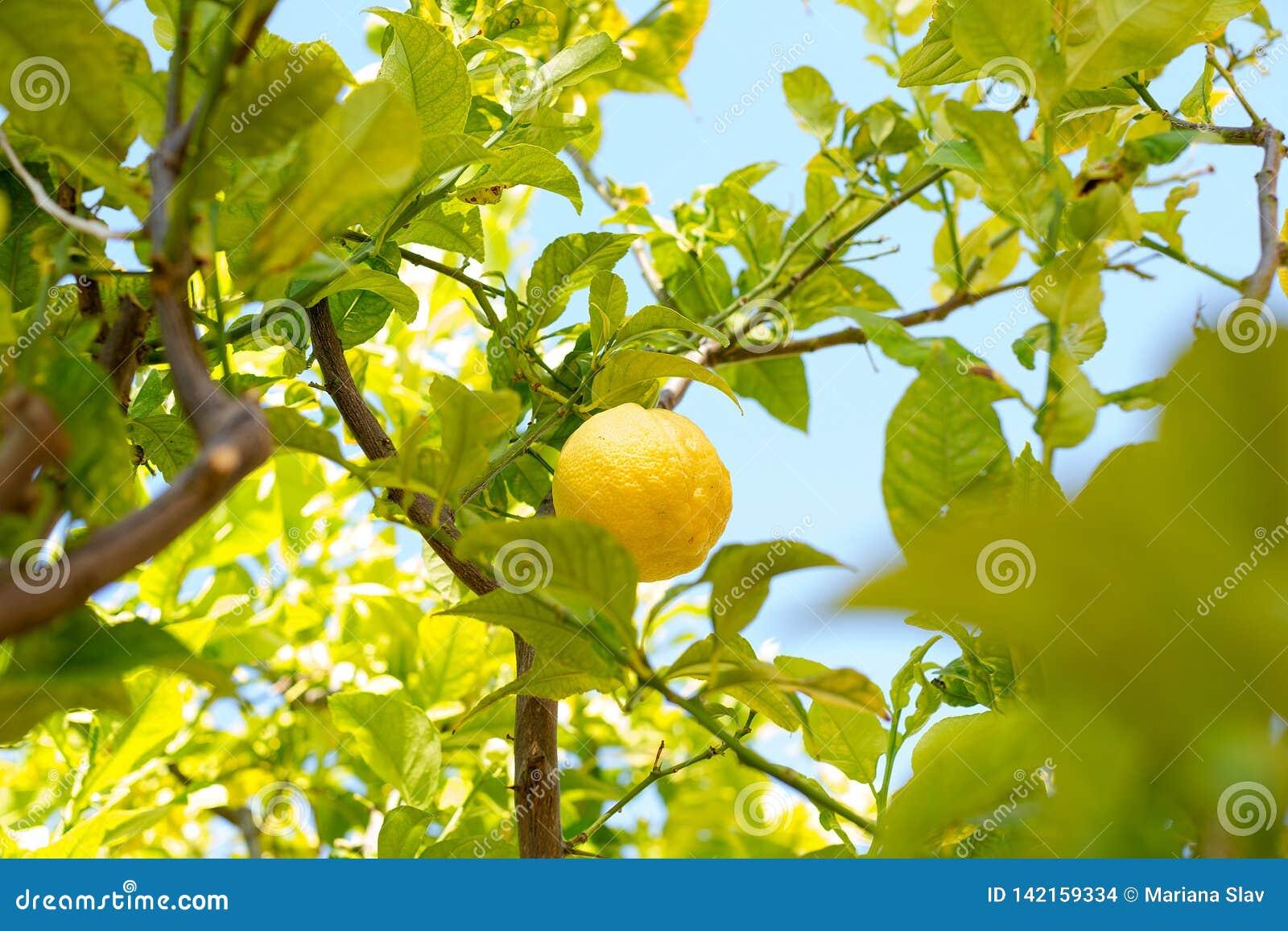 Κινηματογράφηση σε πρώτο πλάνο του λεμονιού στο δέντρο