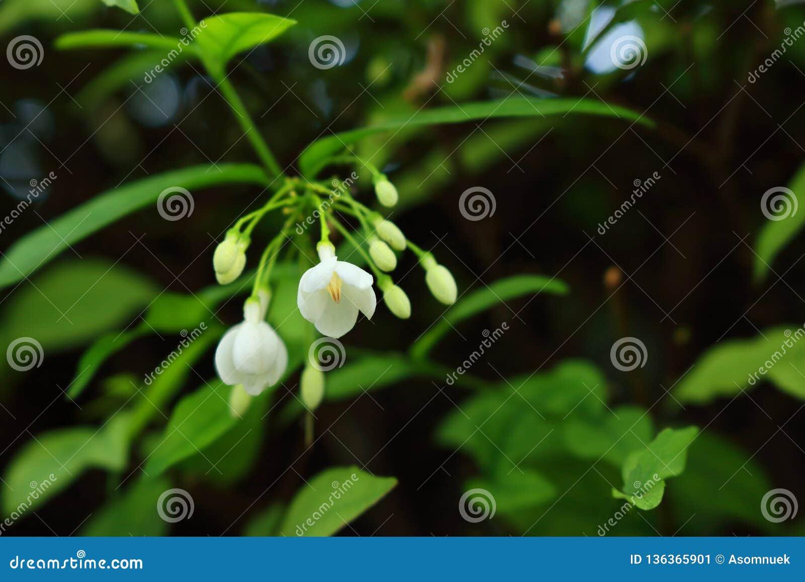 Κινηματογράφηση σε πρώτο πλάνο jasmine νερού των λουλουδιών