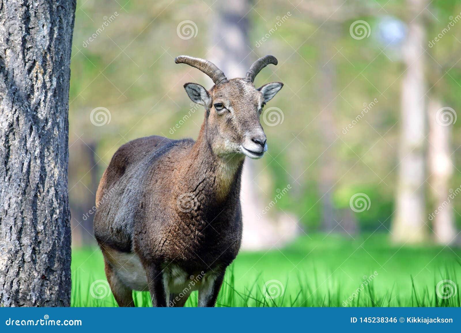 Κινηματογράφηση σε πρώτο πλάνο Ovis Aries Musimon Mouflon