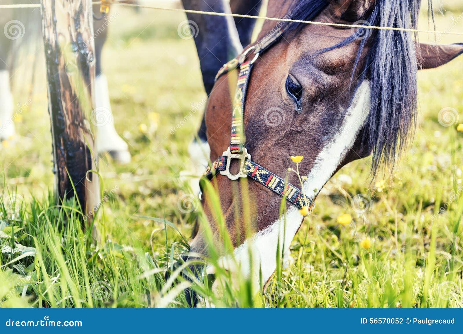 Download Κινηματογράφηση σε πρώτο πλάνο του αλόγου που τρώει τη χλόη Στοκ Εικόνες - εικόνα από επαρχία, γεφυρώματος: 56570052