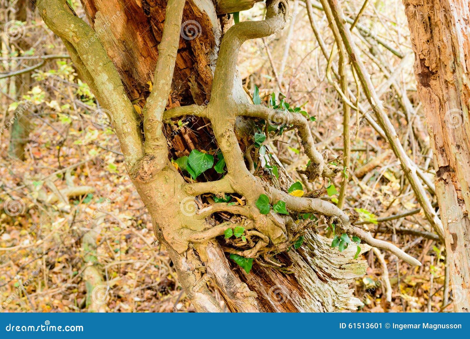 Κισσός στο νεκρό δέντρο